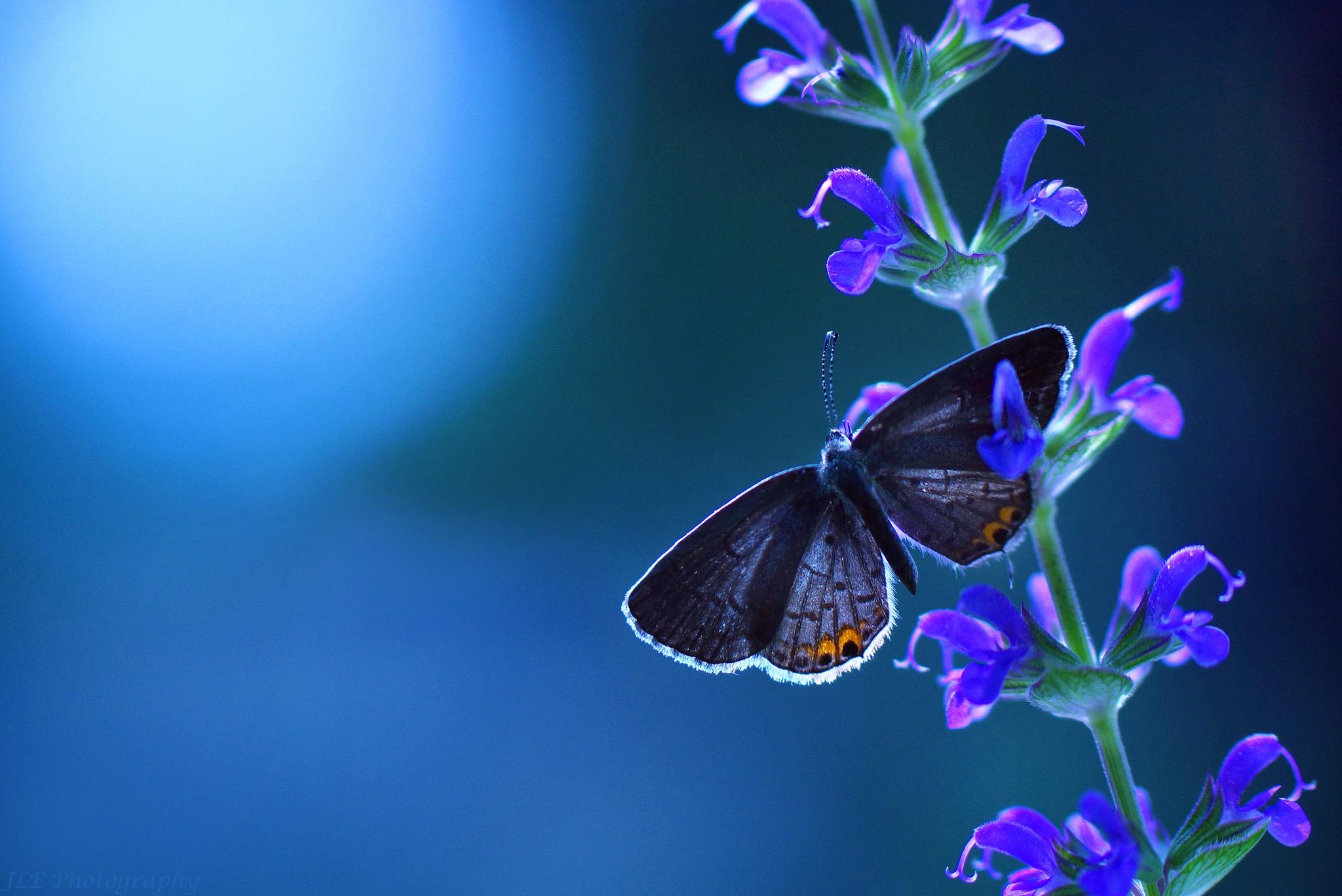 Бабочка голубая цветок макро без смс