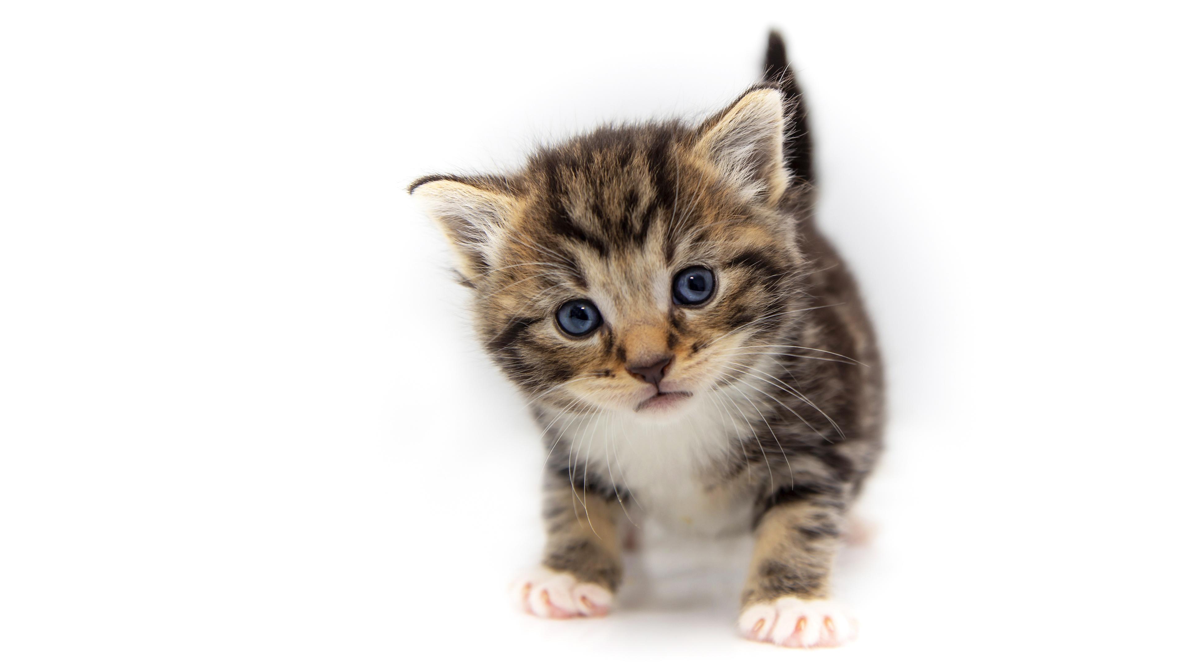 Фото Котята коты Взгляд Животные белым фоном 3840x2160 котят котенка котенок кот кошка Кошки смотрит смотрят животное Белый фон белом фоне