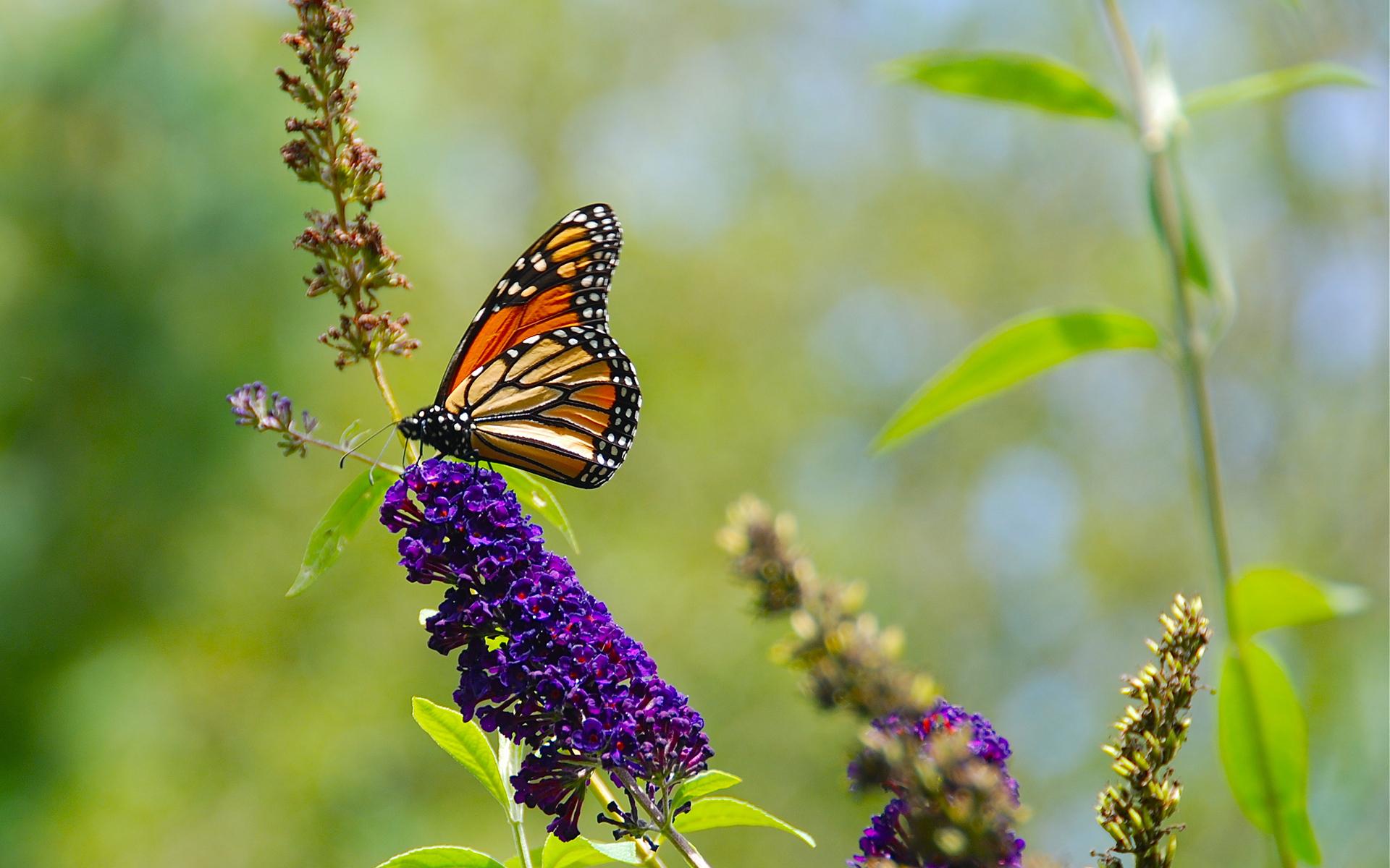Картинки Данаида монарх Бабочки Насекомые Животные 1920x1200 бабочка насекомое животное