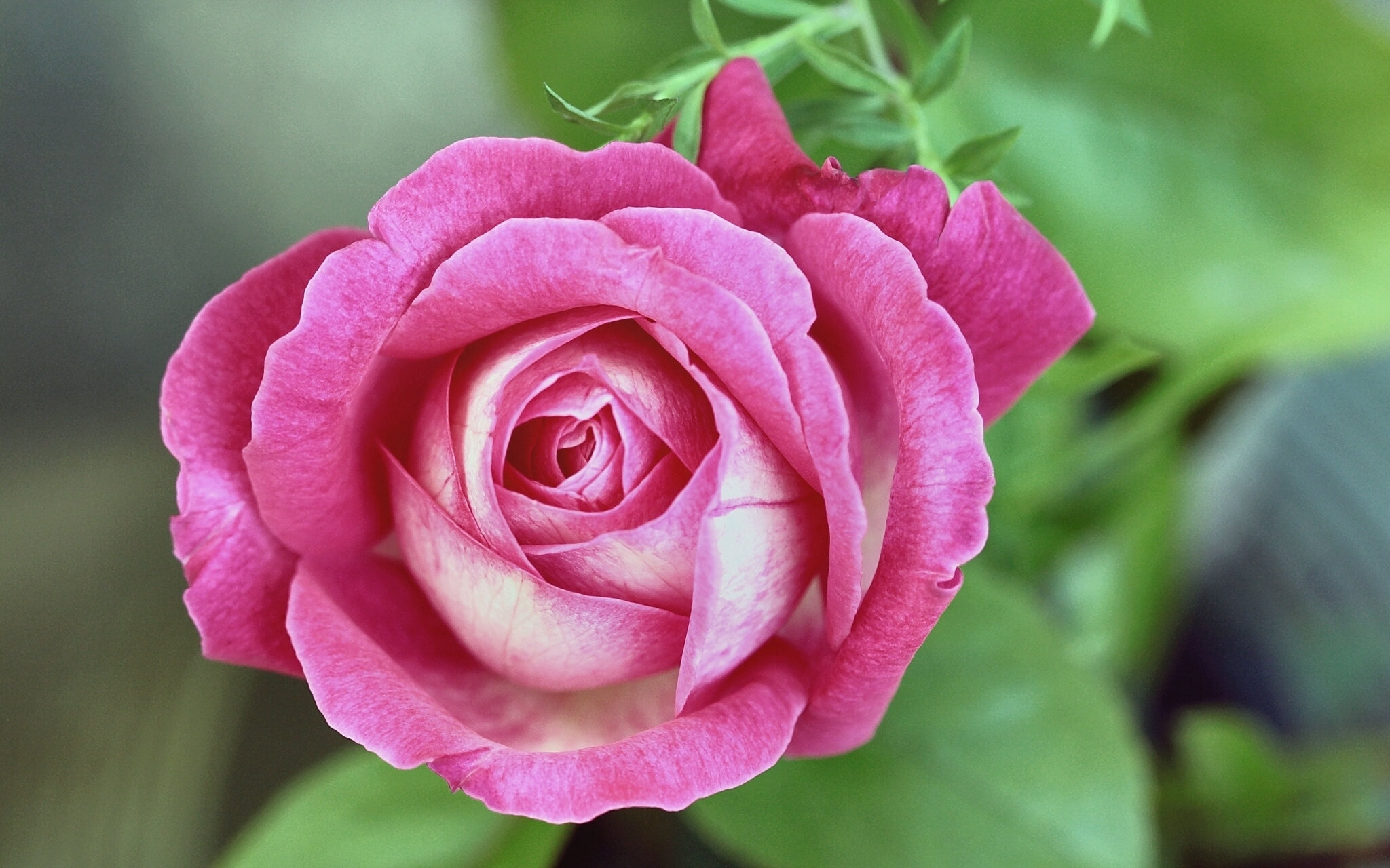 Обои для рабочего стола роза Цветы Крупным планом 2048x1280 Розы цветок вблизи