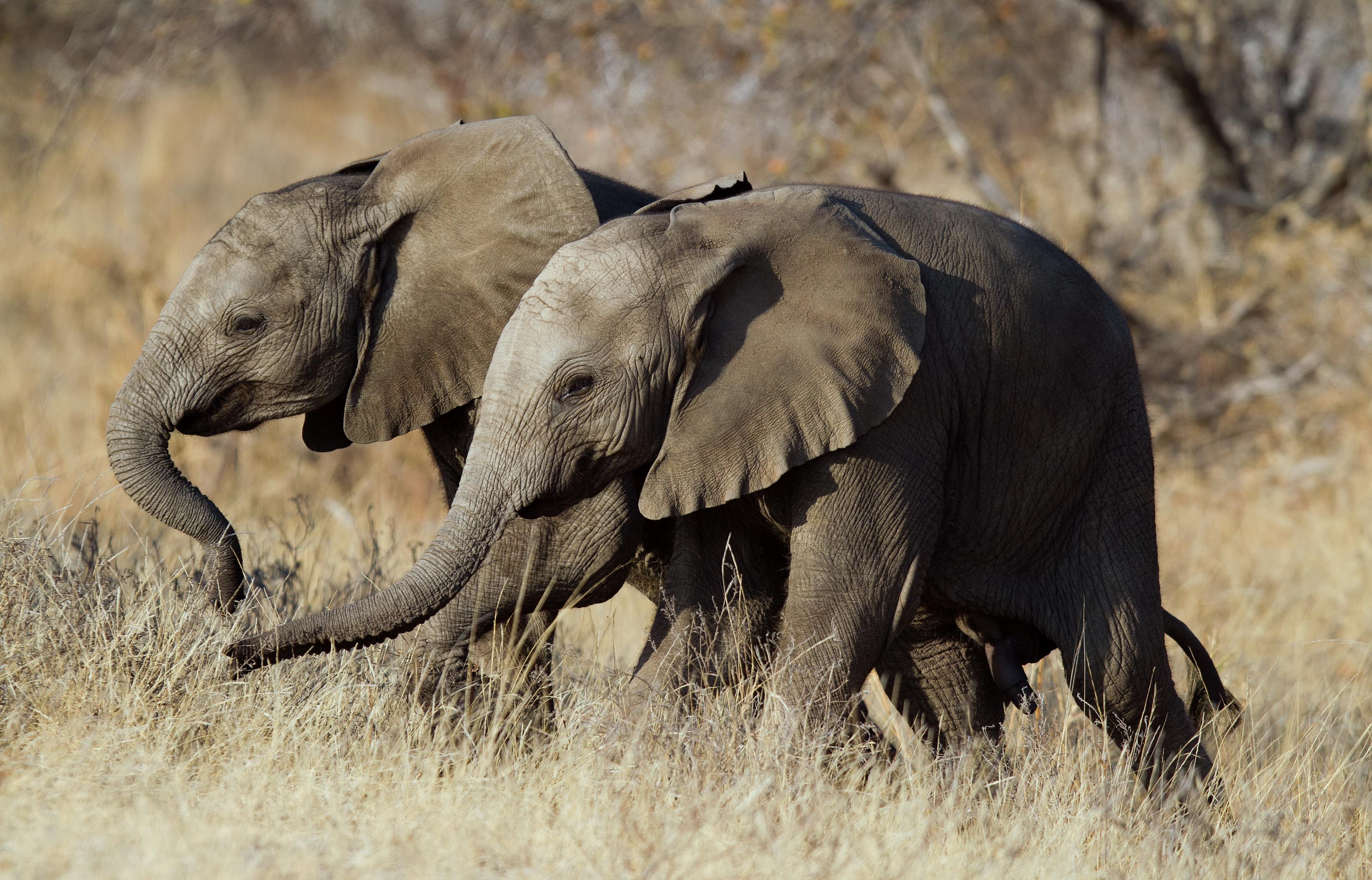 Фотографии слон Двое Животные 3500x2245 Слоны 2 два две вдвоем животное