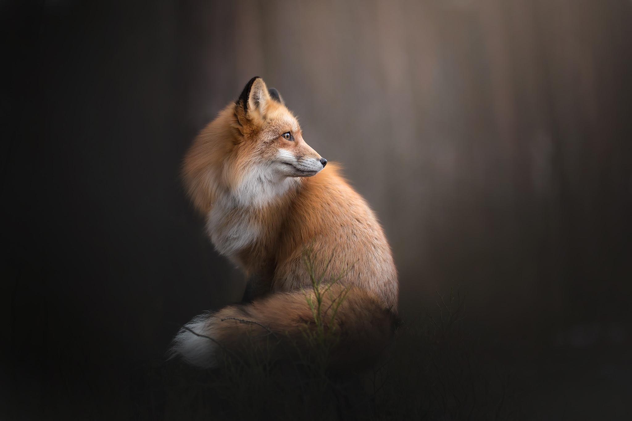 Фотография Лисы Животные Лисица