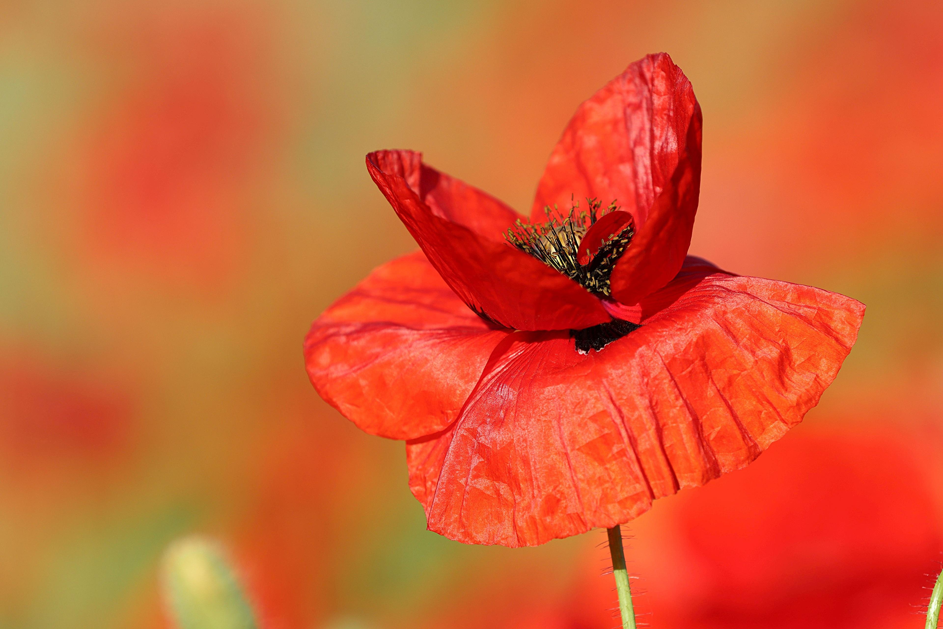 Картинка боке красная мак цветок вблизи 3840x2560 Размытый фон Красный красные красных Маки Цветы Крупным планом