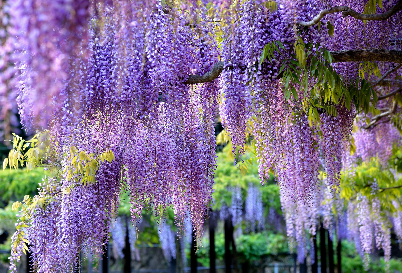глициния, весна, цветы загрузить