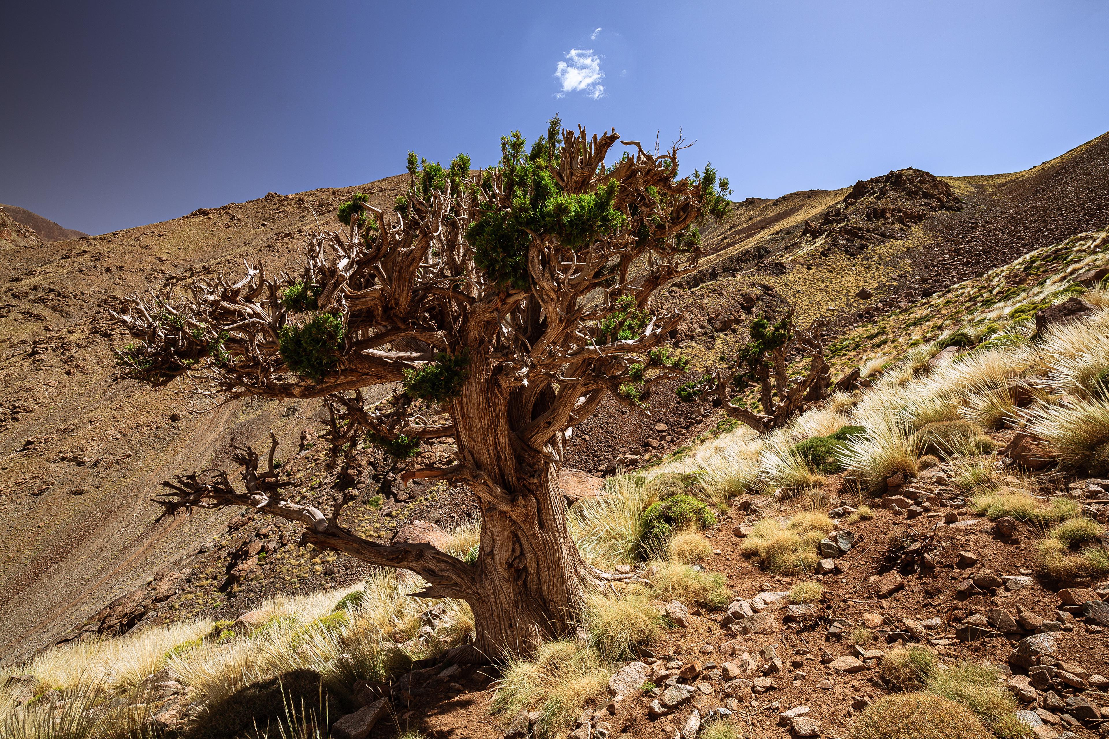 Обои для рабочего стола Африка Марокко Juniper Tree Природа Камни Деревья Камень дерево дерева деревьев
