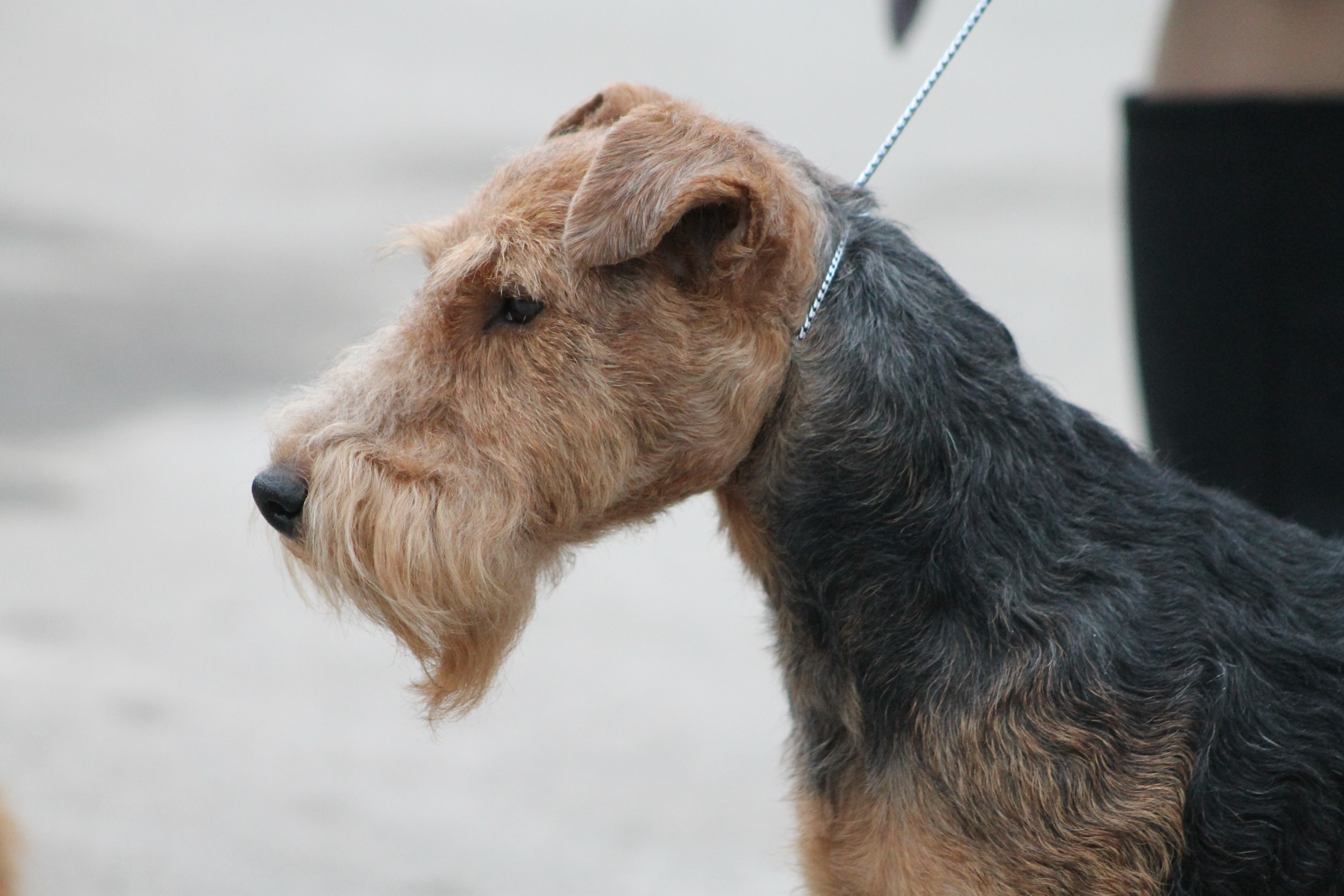 Make sure this fits by entering your model number The Airedale Terrier is one pretty pup If you want to lavish those looks make sure you have them spend