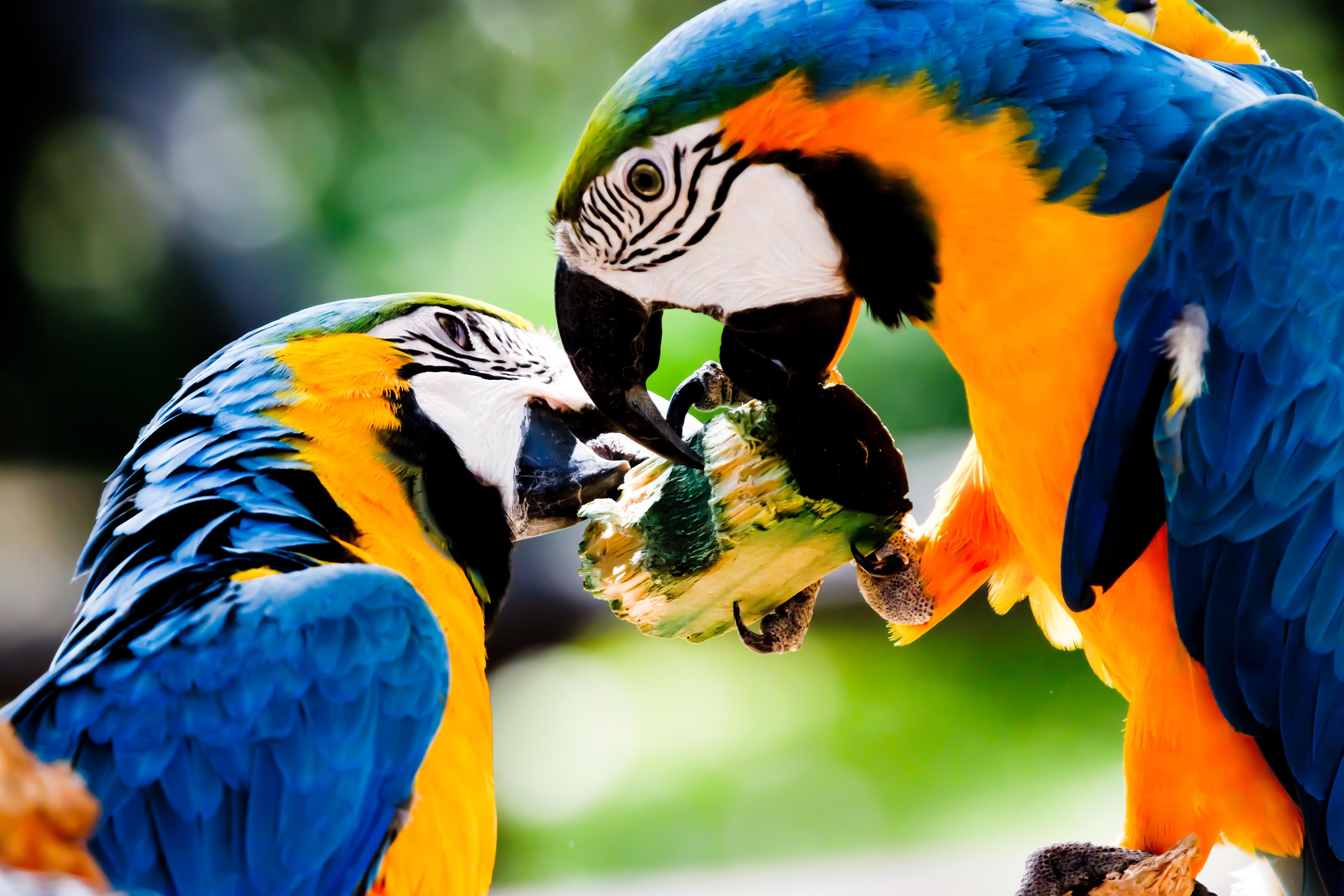 Поцелуй попугаев без смс