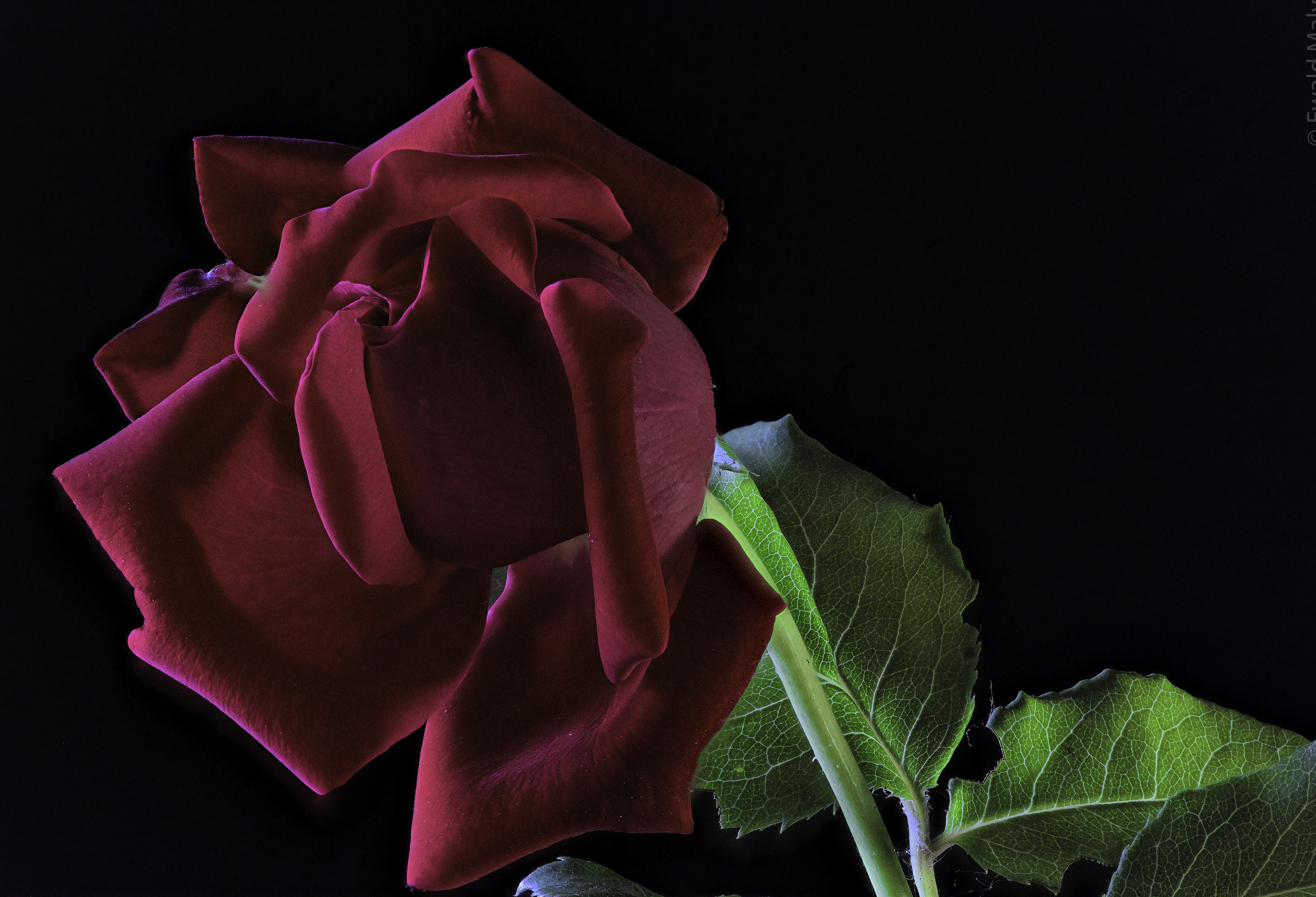 Фотографии Розы бордовая Цветы вблизи на черном фоне 4000x2725 роза бордовые Бордовый темно красный цветок Черный фон Крупным планом