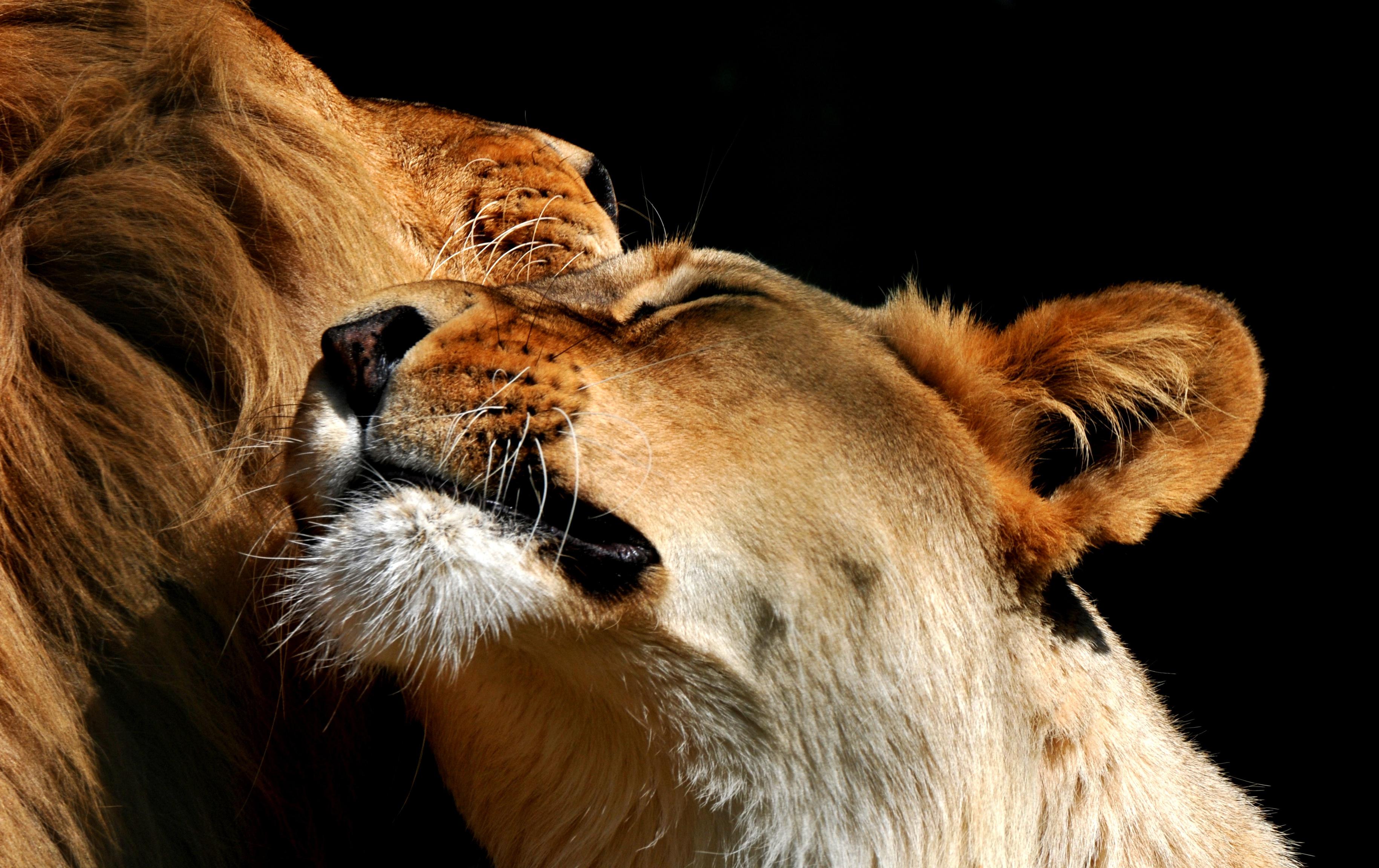 Обои лев, морда, животное. Животные foto 12