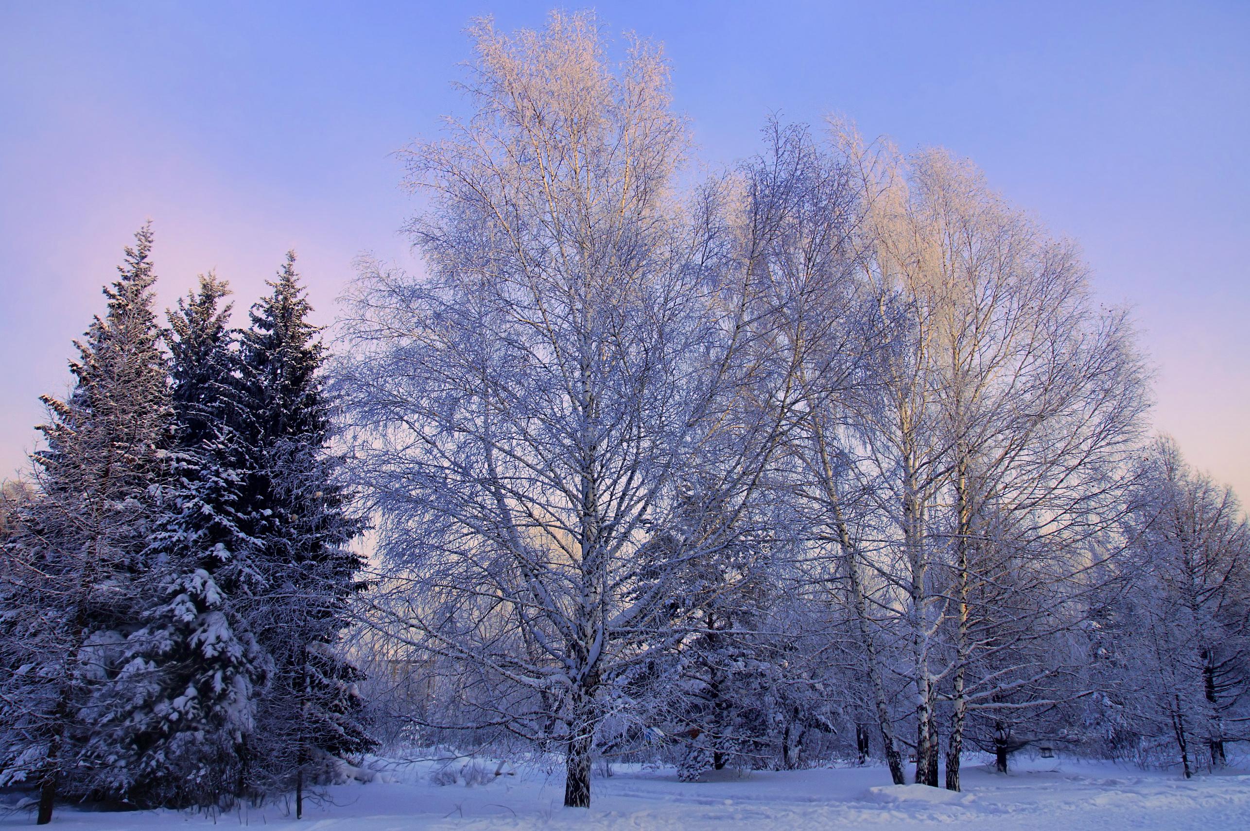 деревья природа ели снег зима бесплатно
