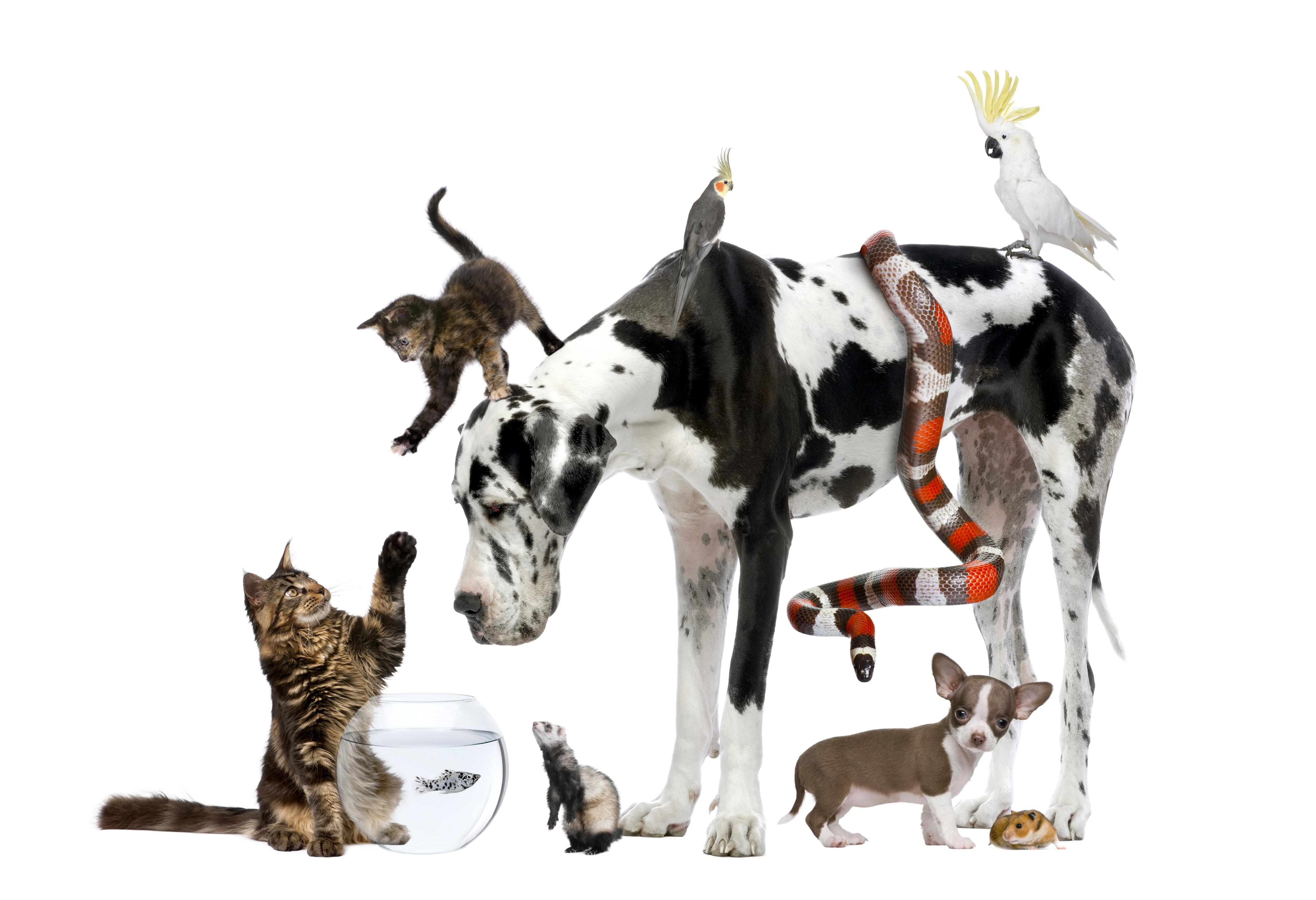 Картинка котят Еноты щенка Чихуахуа далматинцев кот Змеи собака Попугаи Морские свинки животное белом фоне щенки Щенок Котята щенков котенка котенок Далматин далматинца Далматинец коты Кошки кошка Собаки Животные Белый фон белым фоном