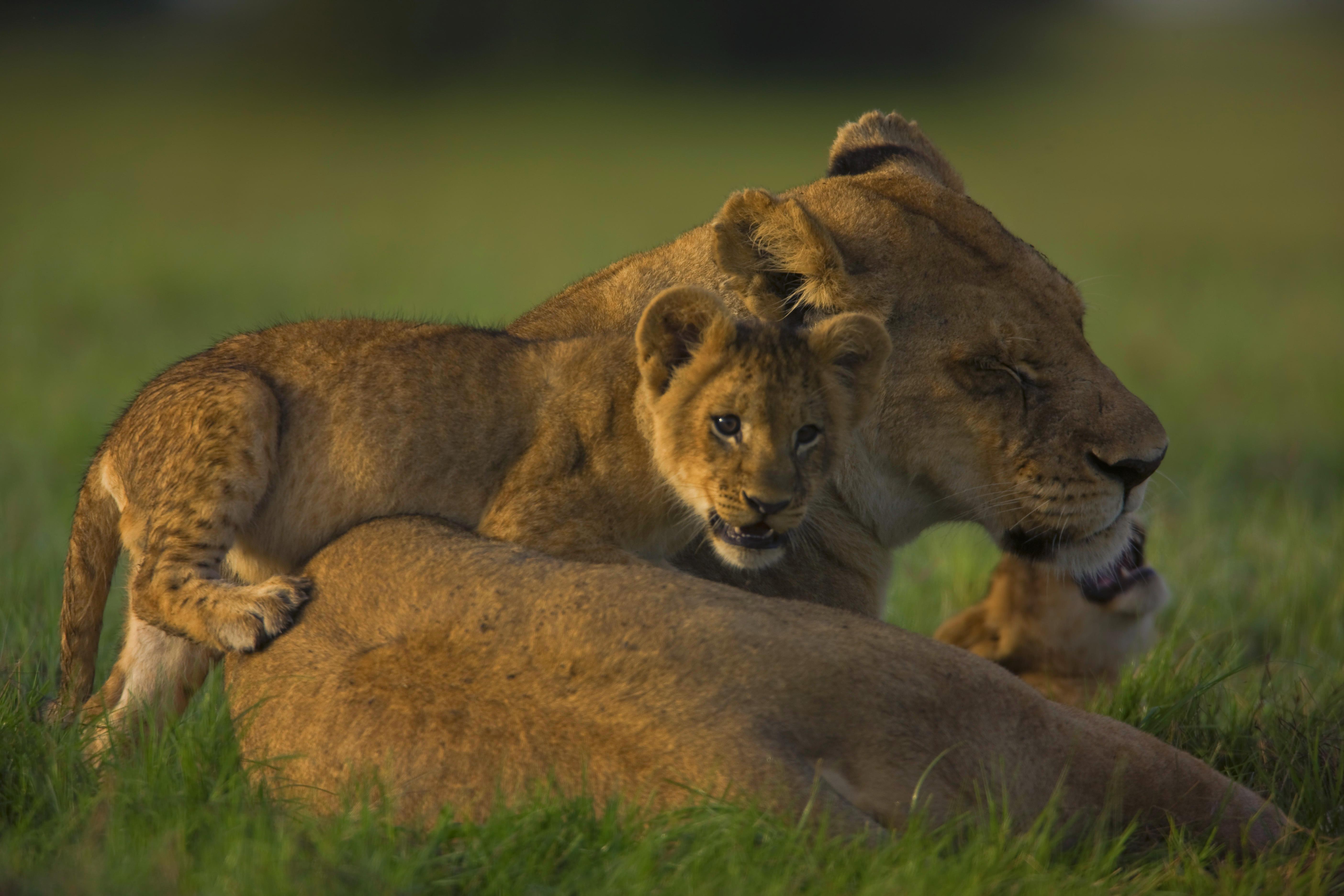 Львица с львятами бесплатно