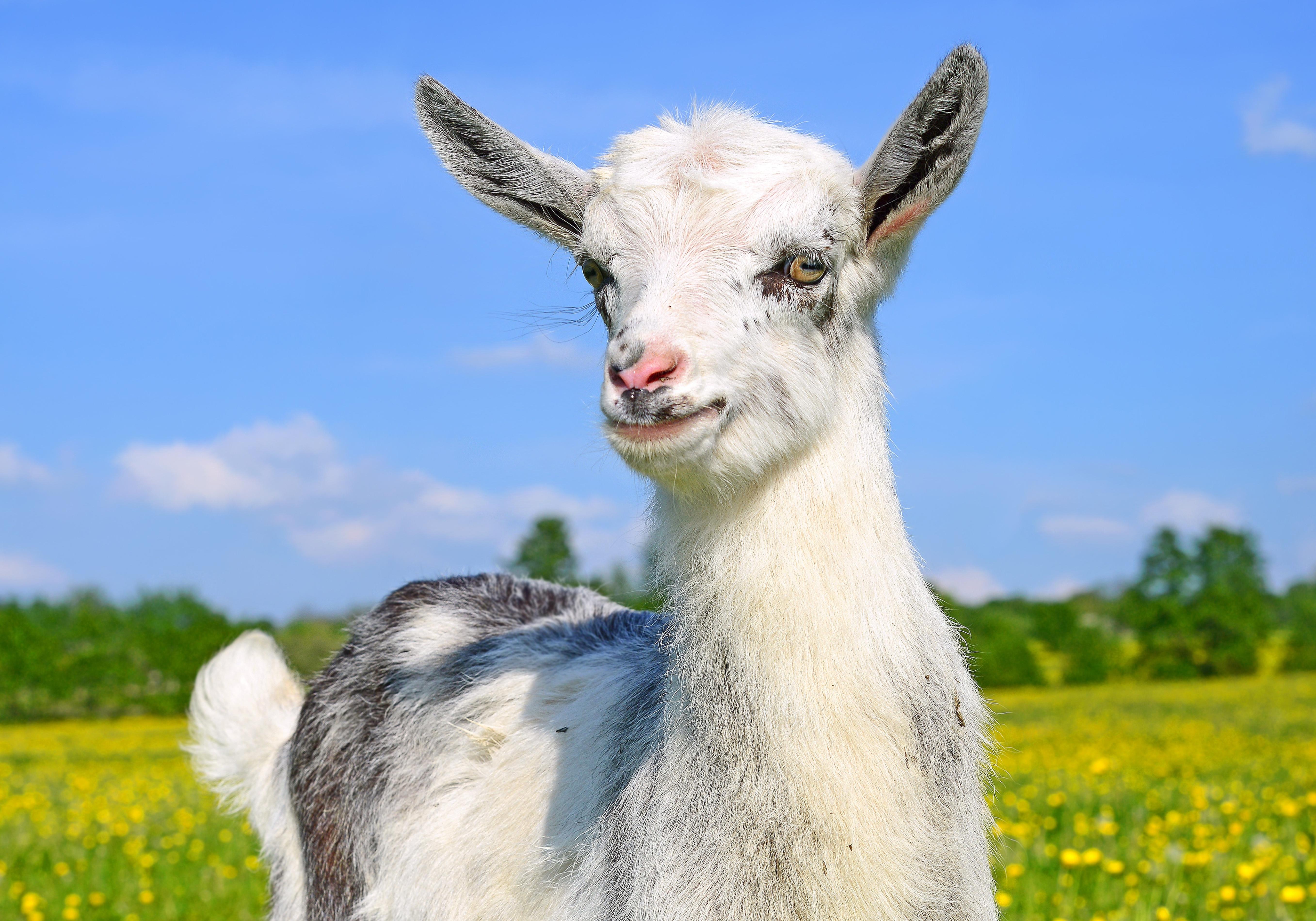 природа животные козы трава забор скачать