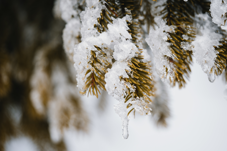 Фотография боке льда Ель Природа Снег Ветки Размытый фон Лед ели снега снегу снеге ветвь ветка на ветке