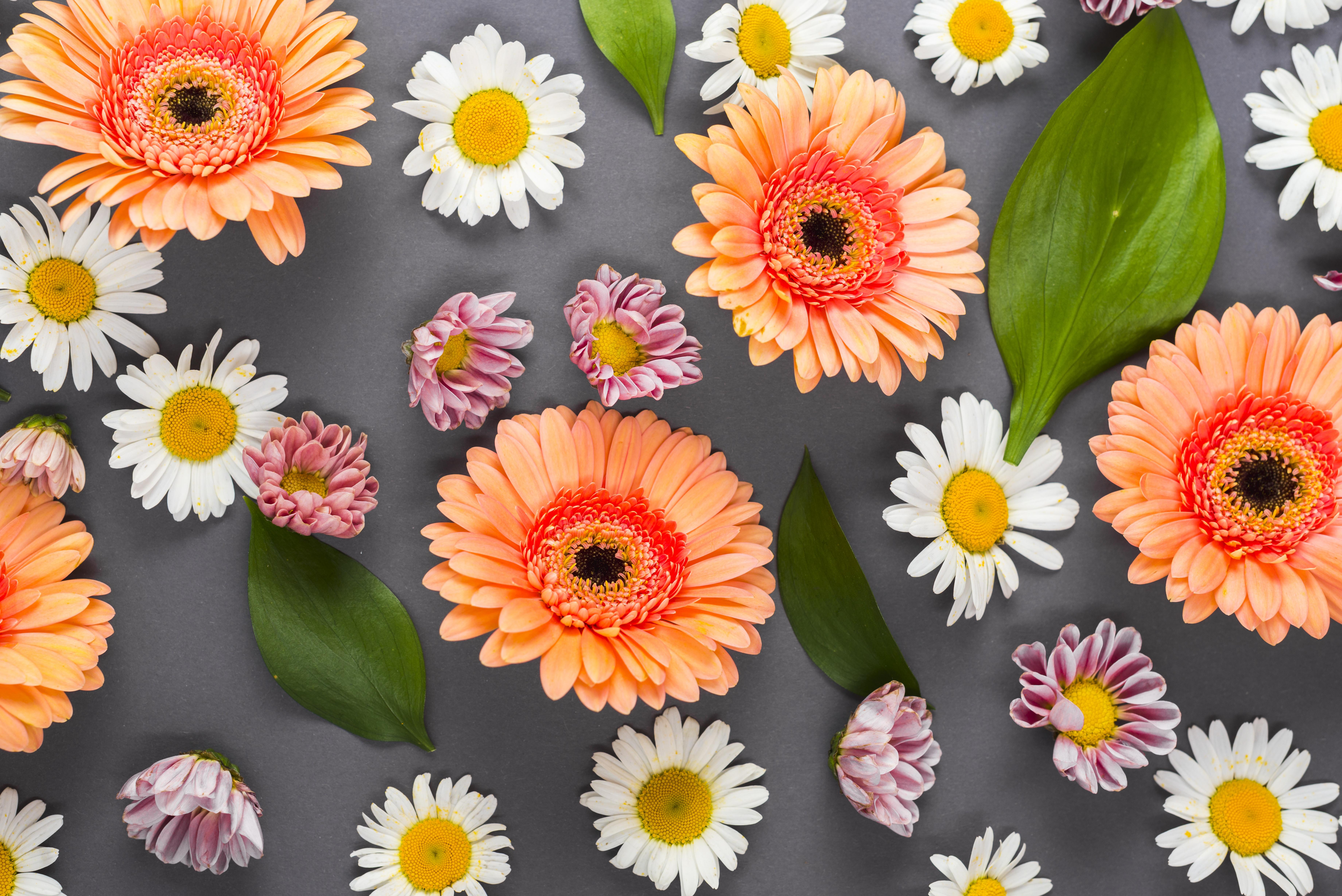 Картинка гербера Цветы Ромашки Герберы цветок ромашка