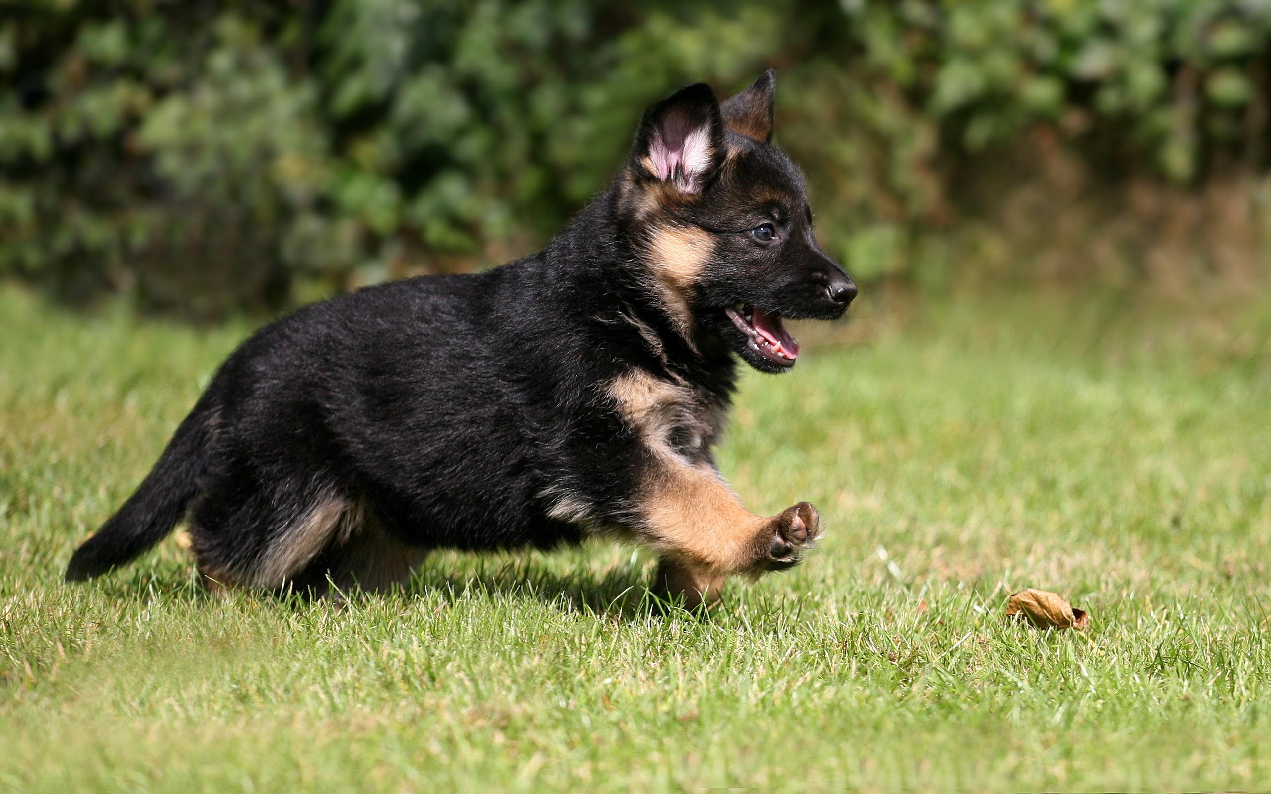 Скачать фото немецкой овчарки щенка.