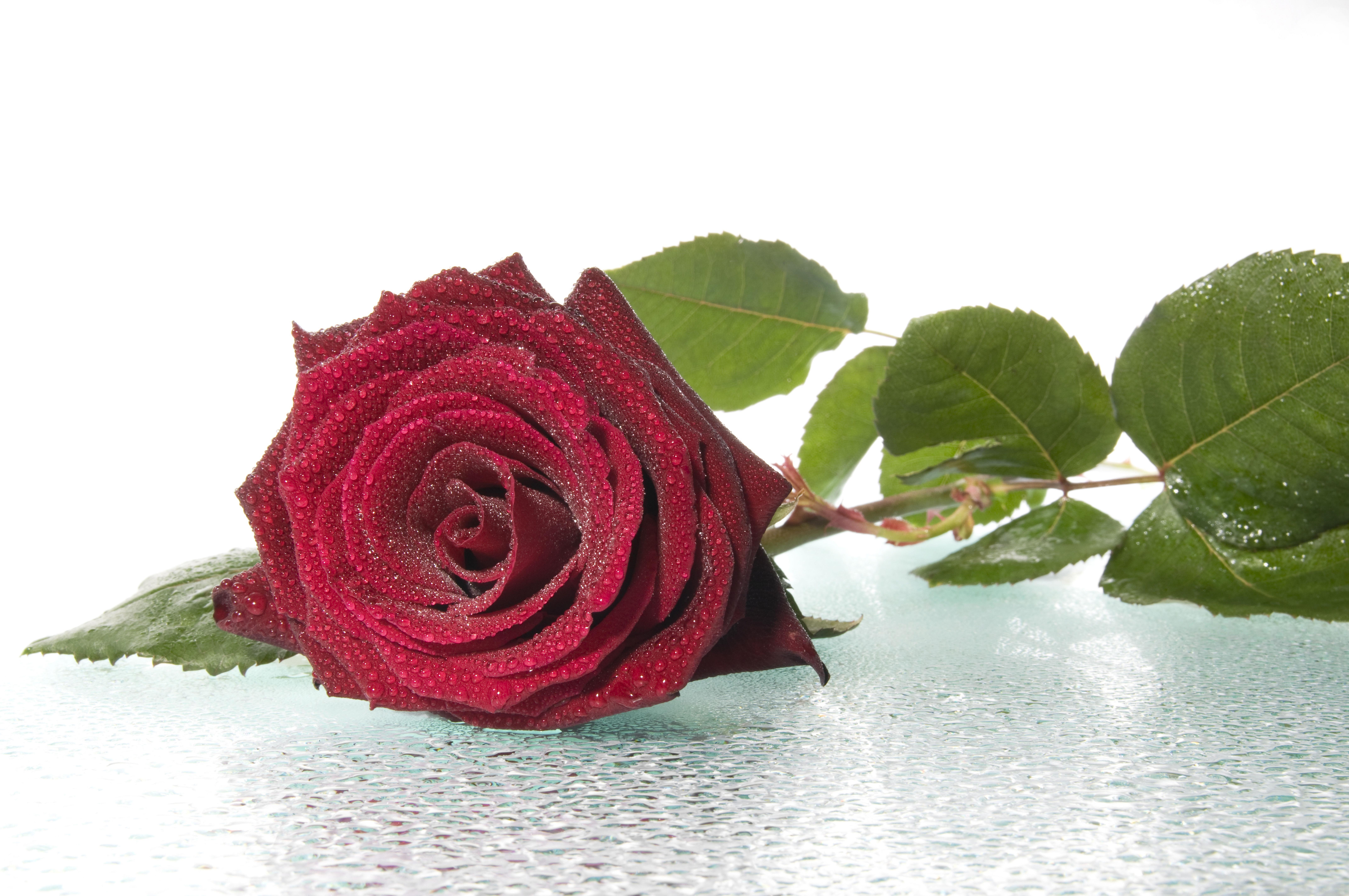 красные розы листья стебли бесплатно
