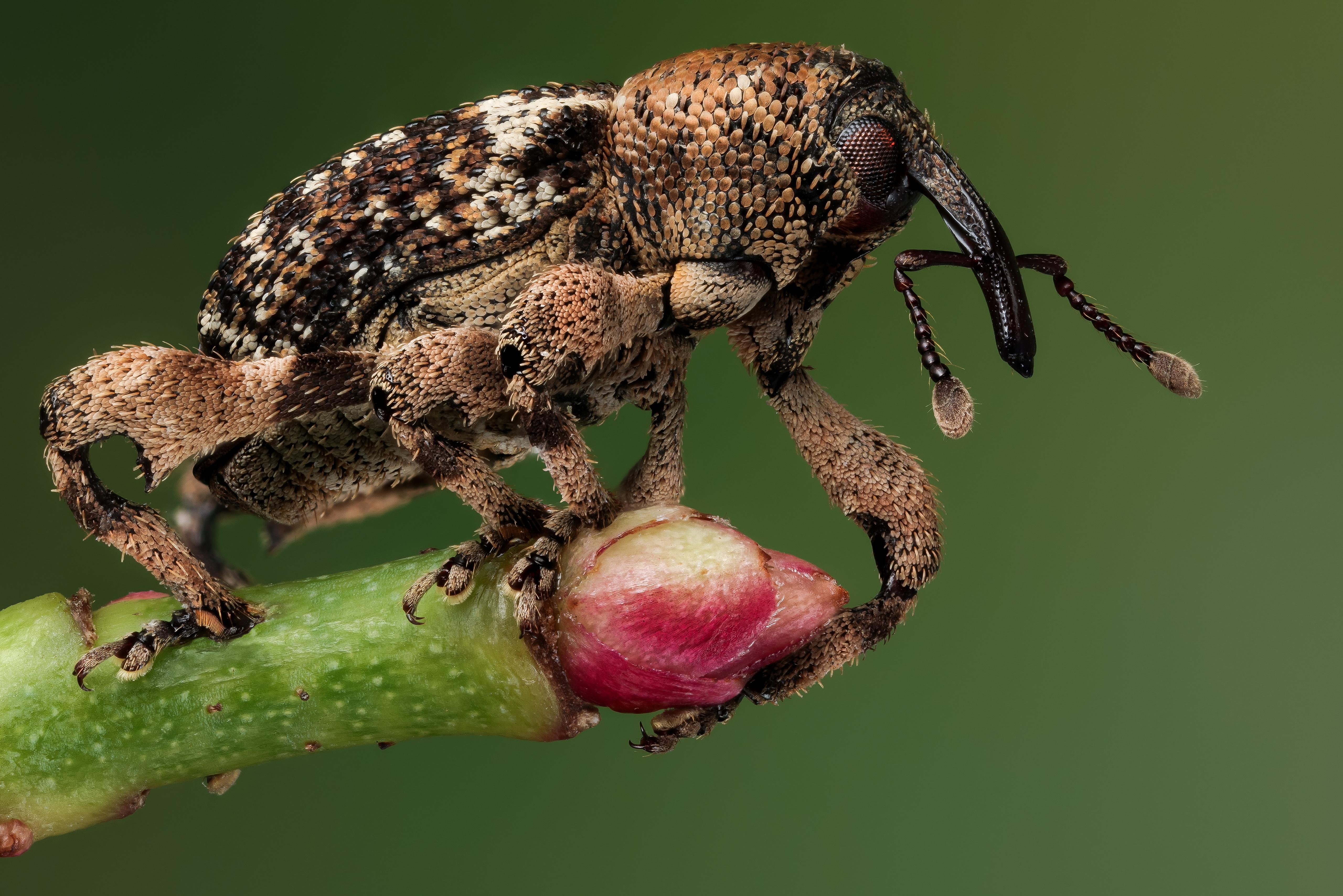 Фотографии Жуки Насекомые weevil вблизи животное 5120x3416 насекомое Животные Крупным планом