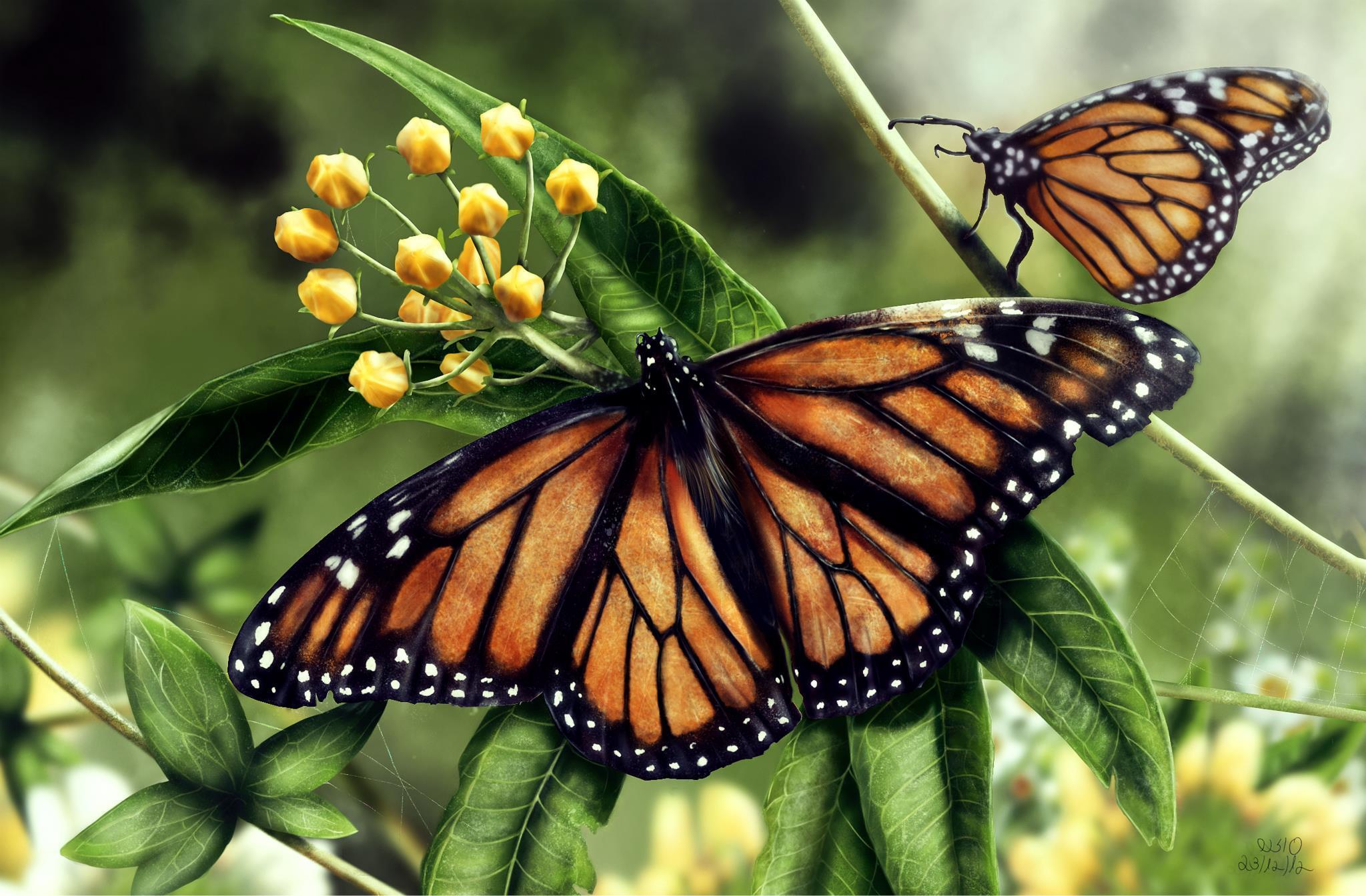 Фотография Данаида монарх Бабочки Насекомые два животное бабочка насекомое 2 две Двое вдвоем Животные