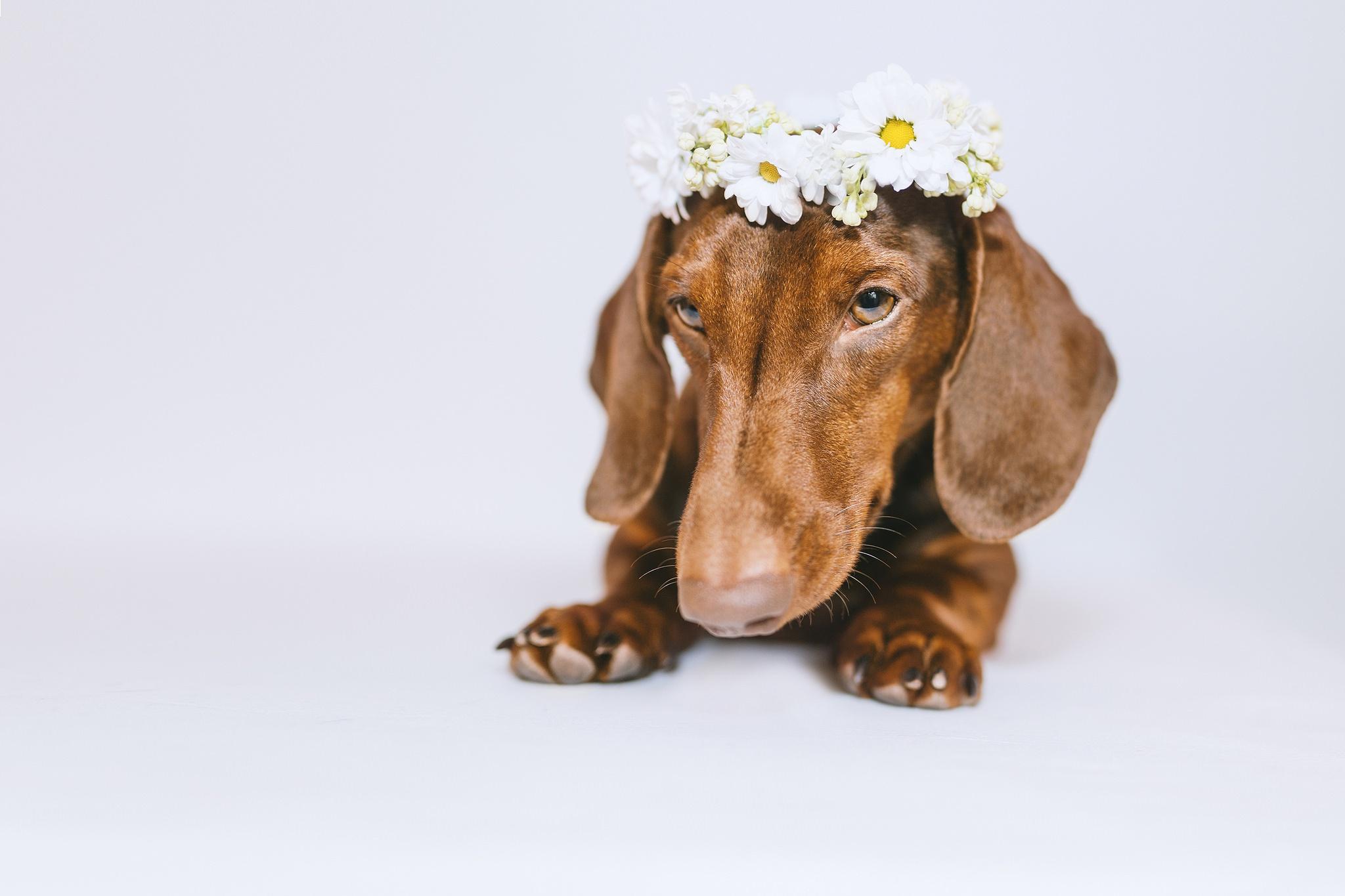 Картинки Такса собака Венок лап Животные Серый фон таксы Собаки венком Лапы животное сером фоне