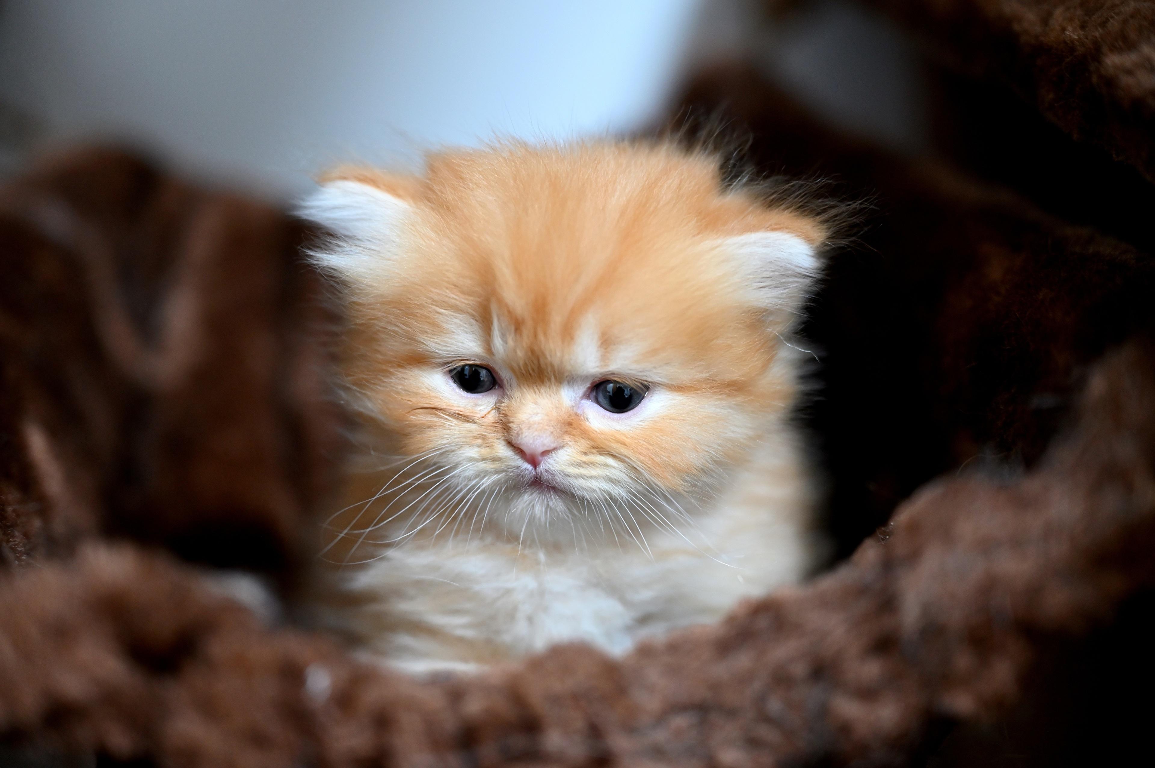 Фотографии Котята боке смотрят Животные котят котенок котенка Размытый фон Взгляд смотрит животное