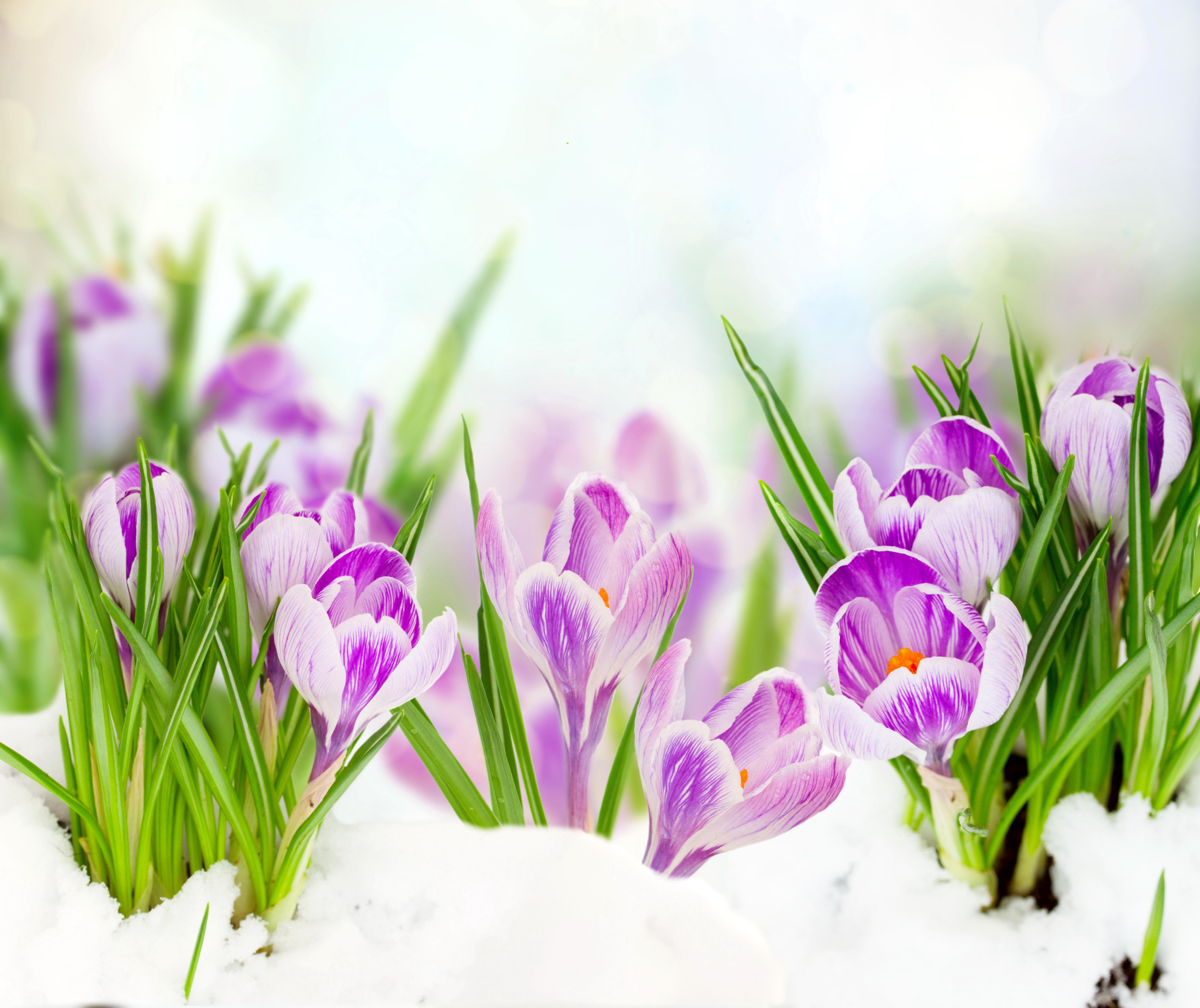 подснежники снег цветы бесплатно