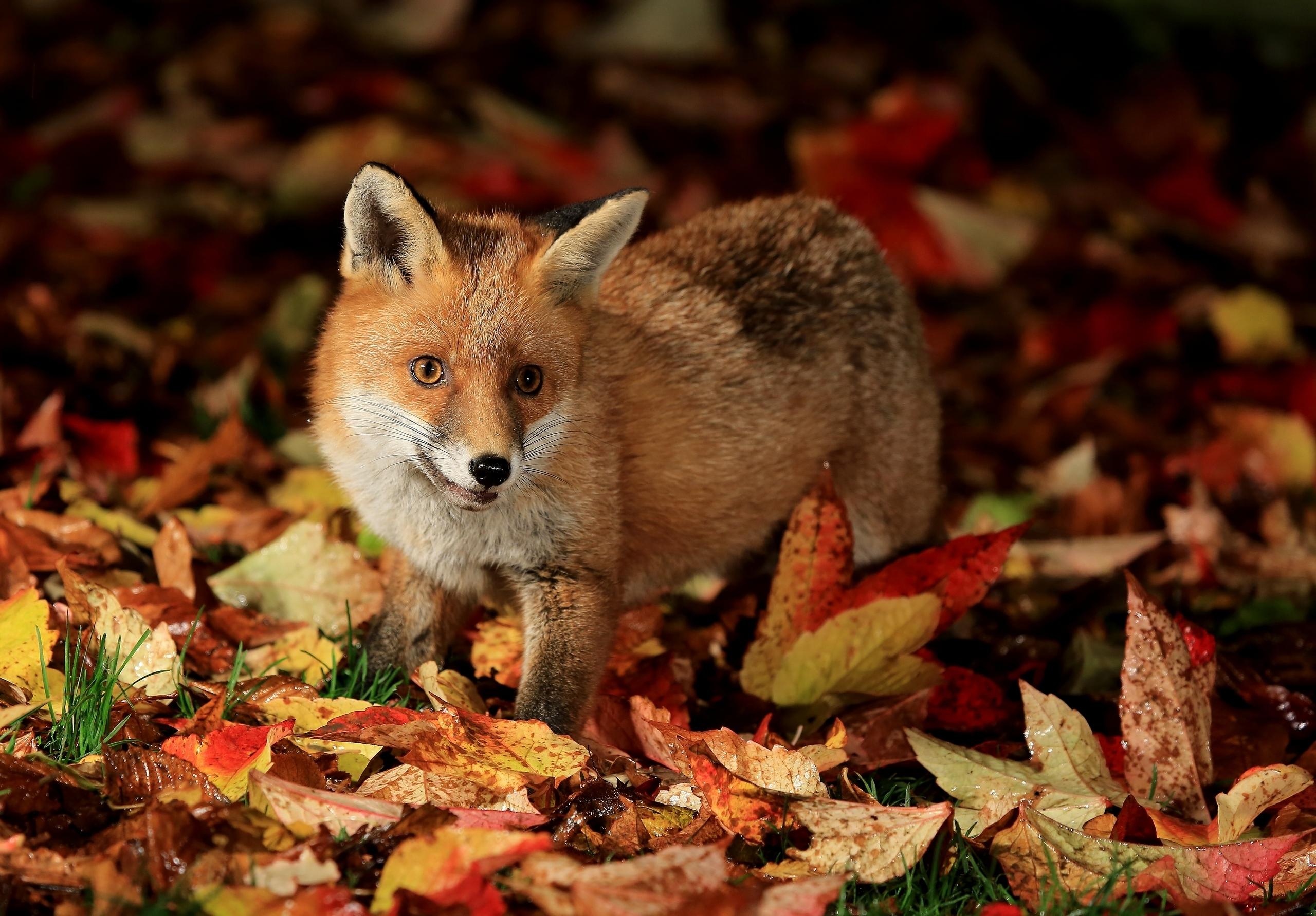 насторожившаяся лисица скачать