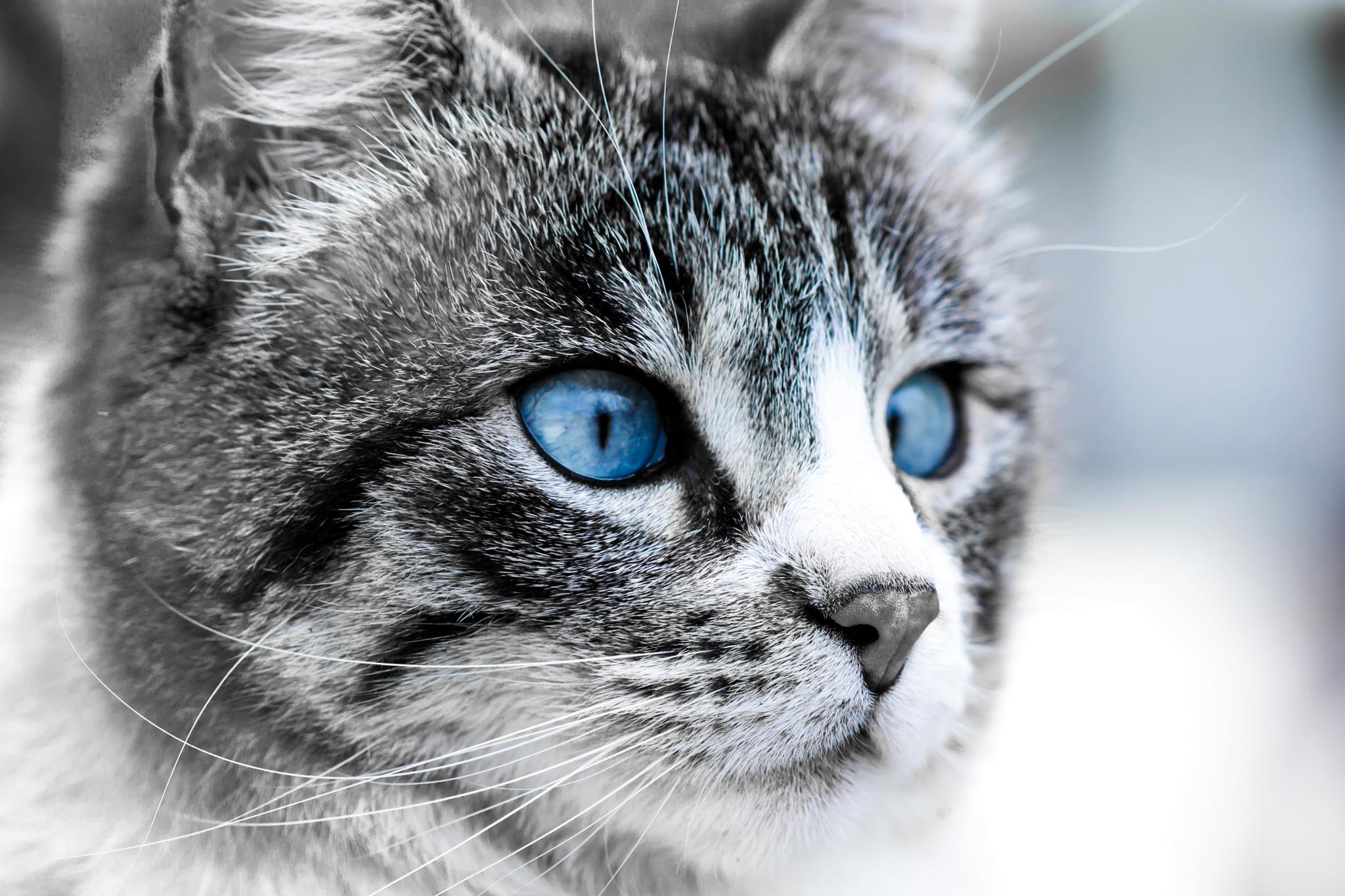 Гулубоглазый дымчатый котенок бесплатно
