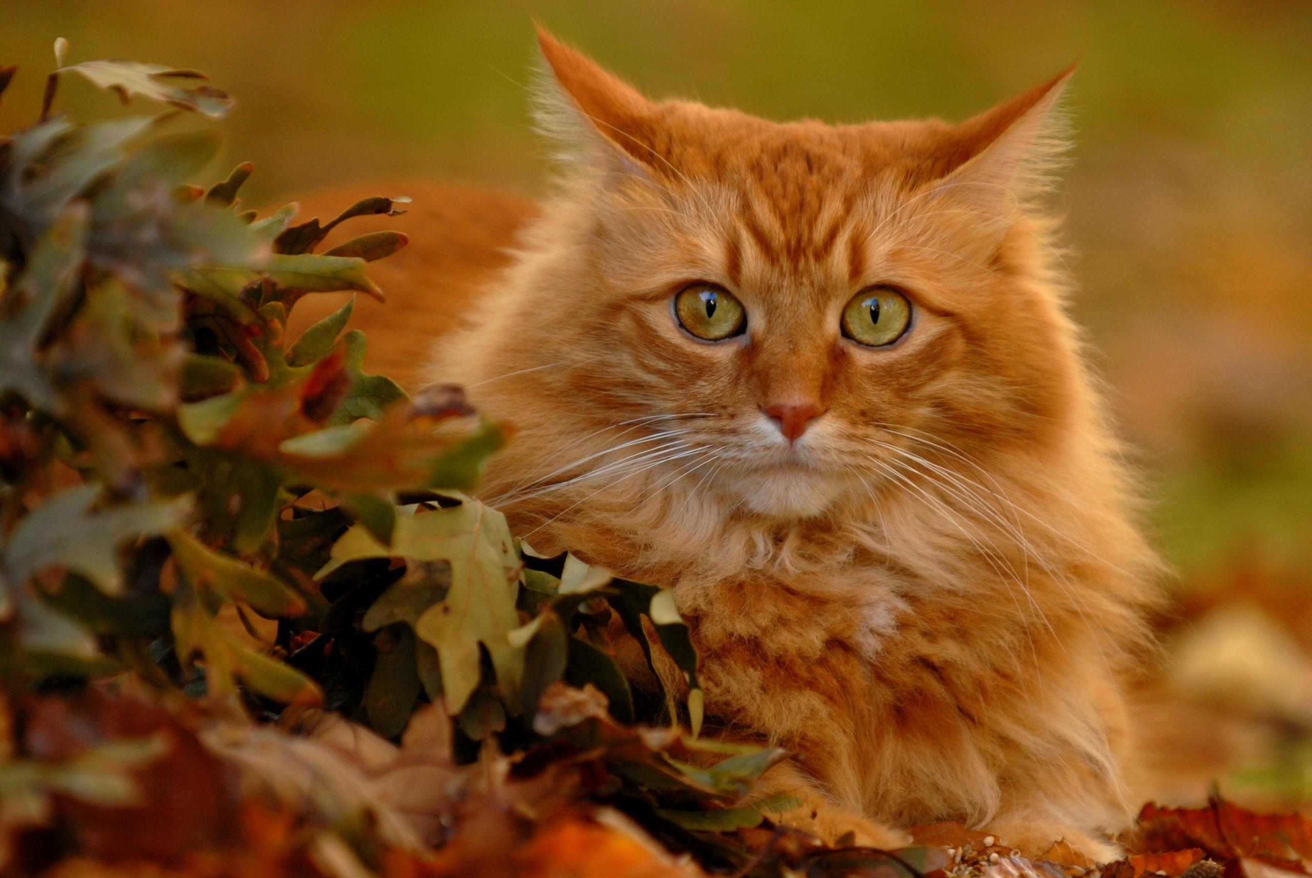 рыжий кот природа морда животное загрузить