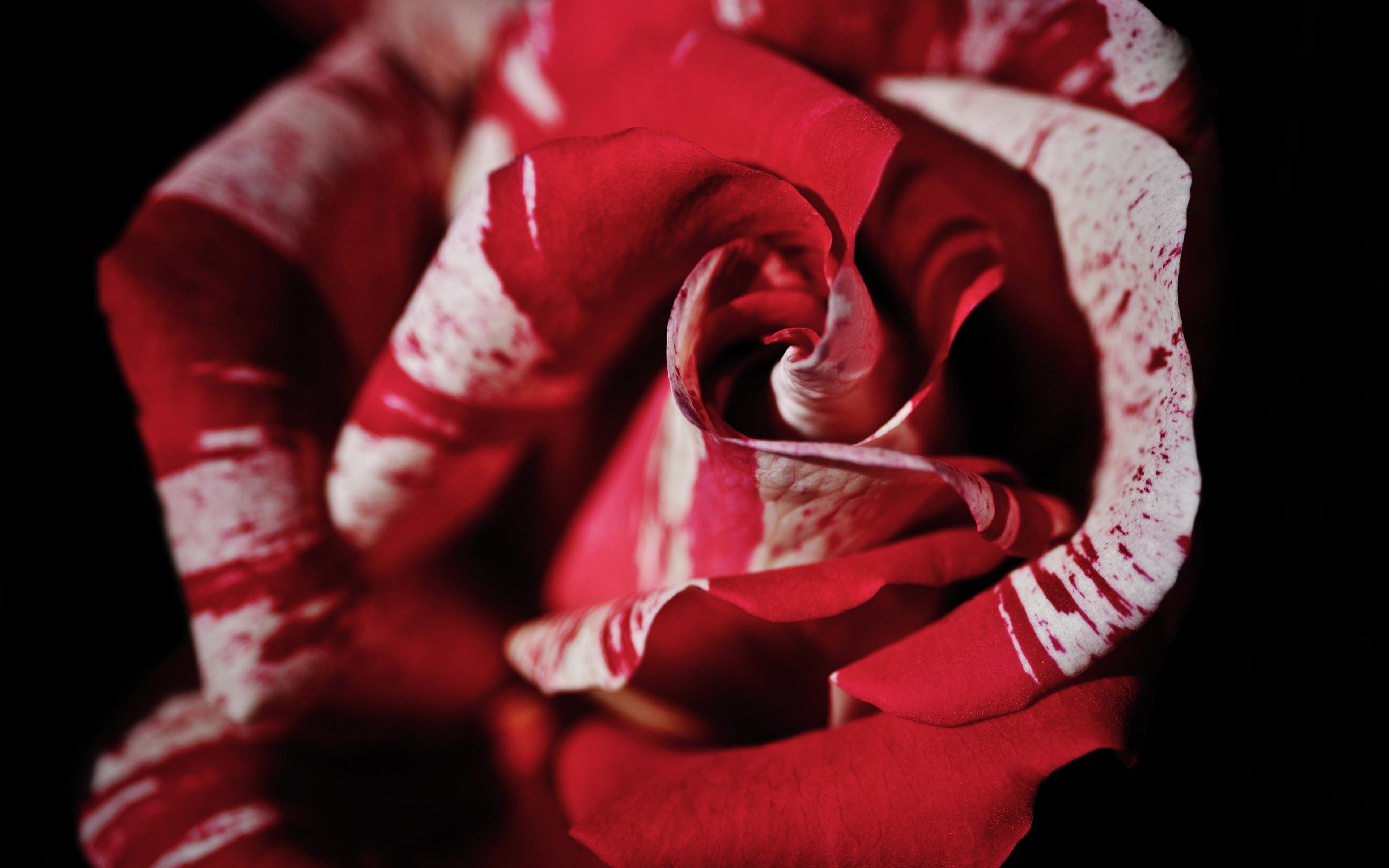 Картинка Розы красные Цветы Крупным планом 3840x2400 роза красная Красный красных цветок вблизи