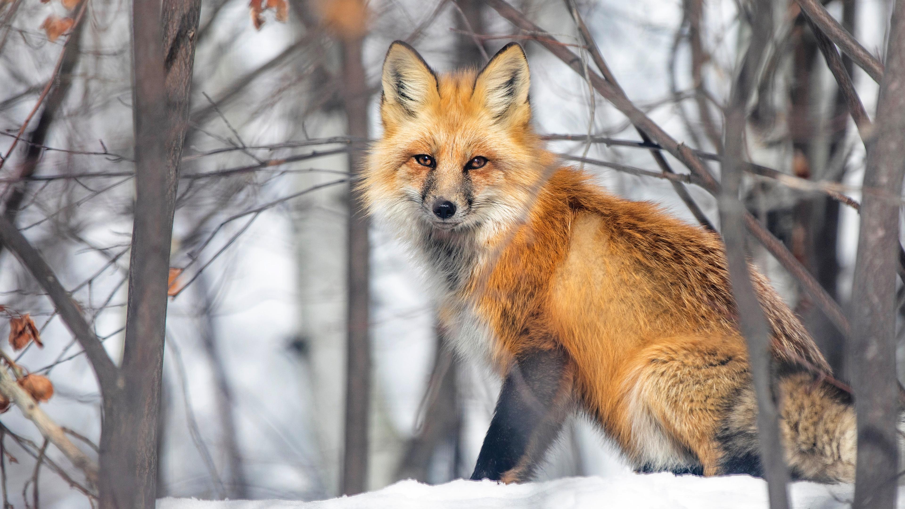 Фото Лисы Рыжая снеге смотрят животное 3840x2160 Лисица рыжих рыжие Снег снегу снега Взгляд смотрит Животные