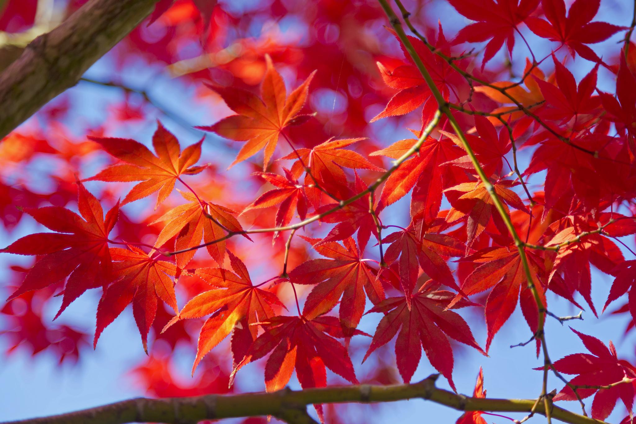 кленовый листья осень макро без смс