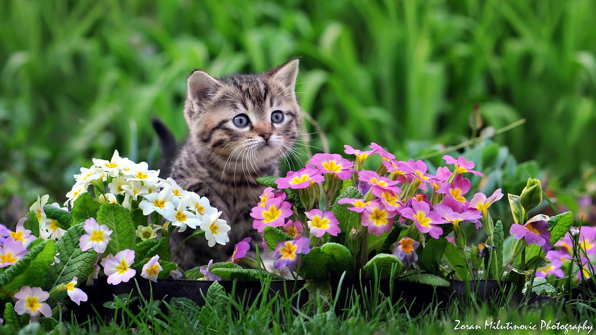 Обои цветы, Кошка. Кошки foto 10