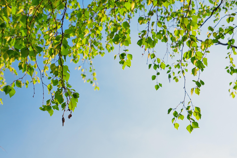 Ветки деревьев над безоблачным небом без смс
