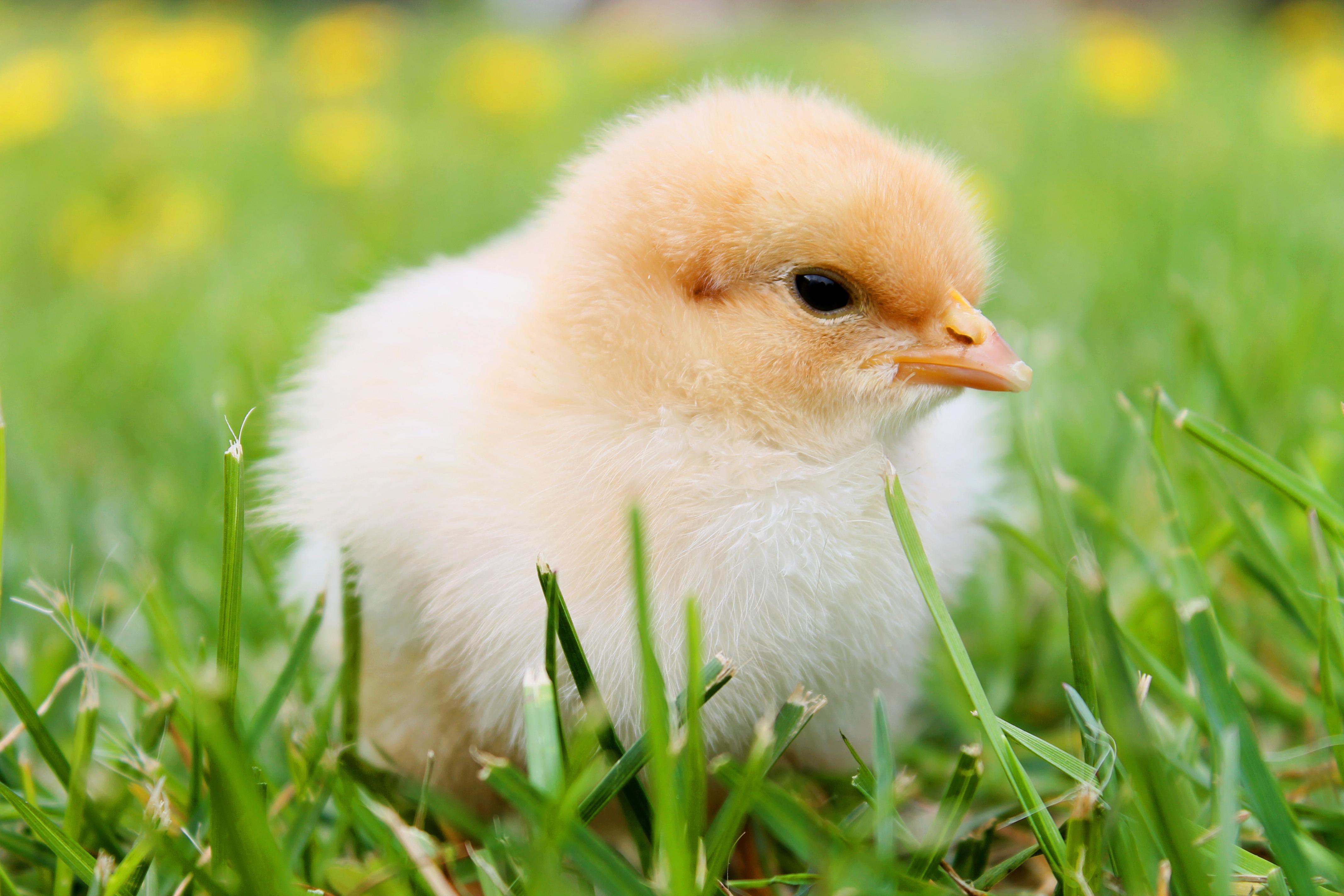Картинки Птенец курицы Трава вблизи животное Цыплята траве Животные Крупным планом