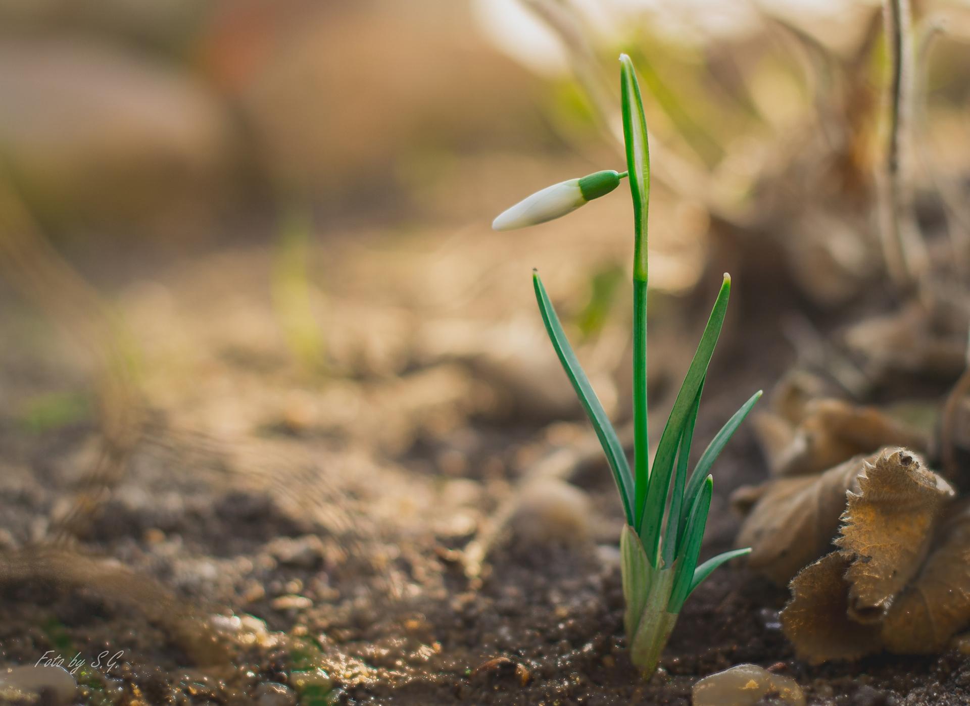 Фото весенние Цветы Галантус Бутон вблизи Весна цветок Подснежники Крупным планом