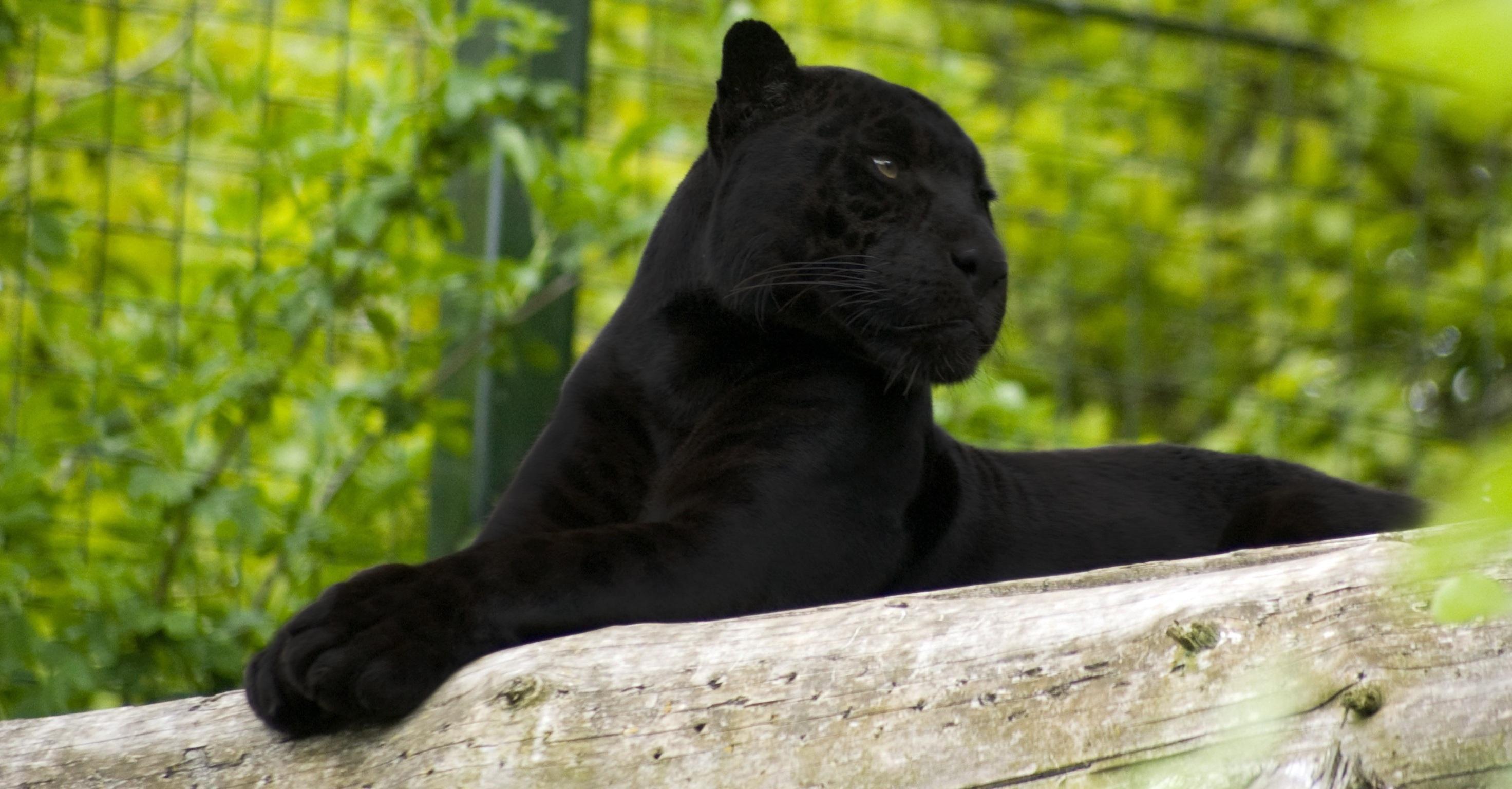 черный кот природа животные black cat nature animals бесплатно