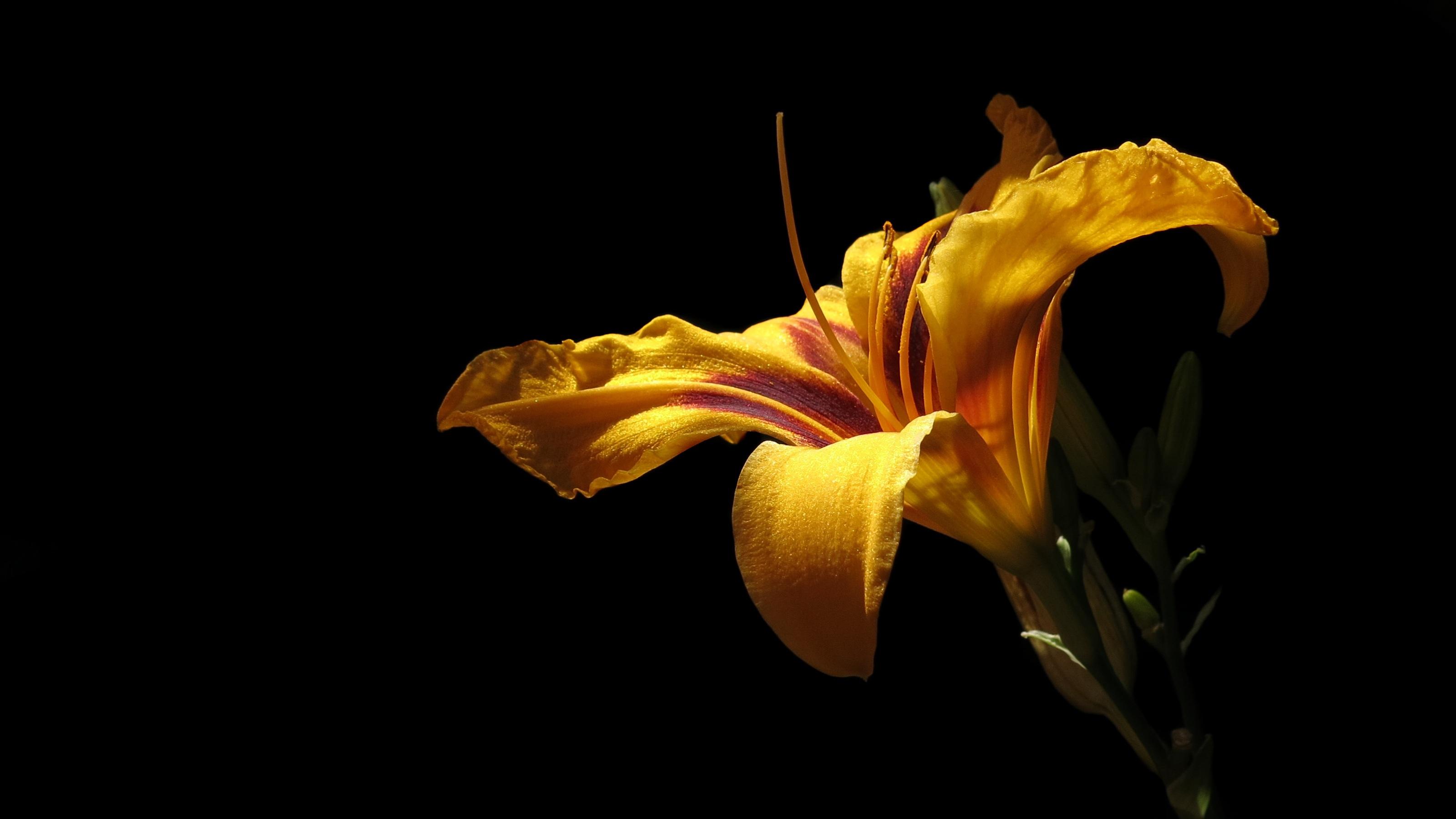 Фотография лилия Желтый Лепестки цветок Черный фон Крупным планом Лилии желтых желтые желтая лепестков Цветы вблизи на черном фоне