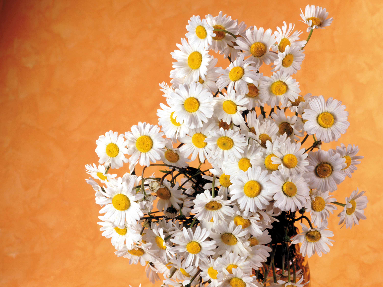 праздник день рождения цветы ромашки holiday day birth flowers chamomile скачать