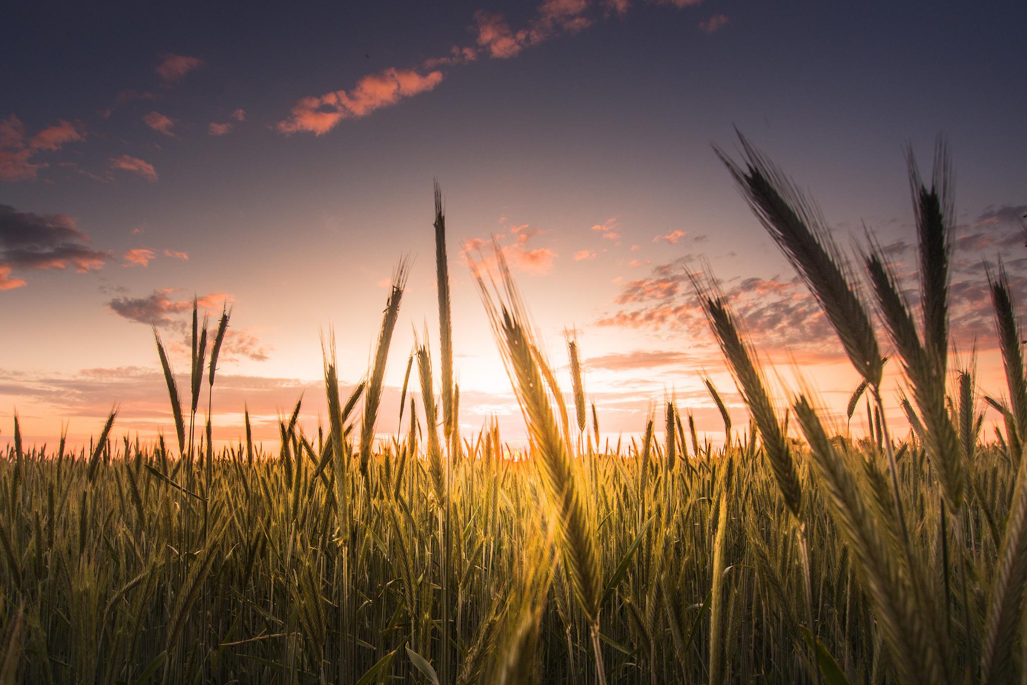 природа колосья рассвет небо без смс