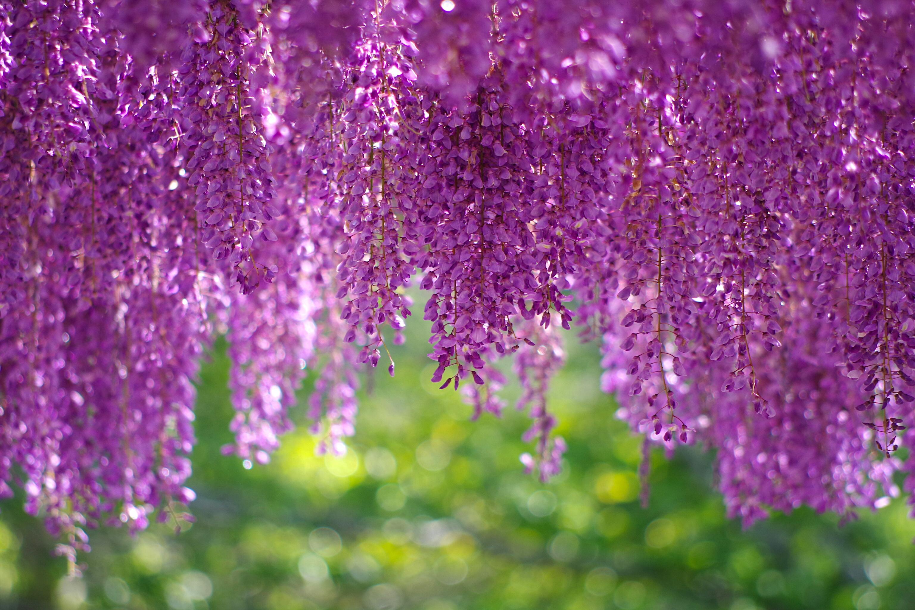 глициния, весна, цветы бесплатно