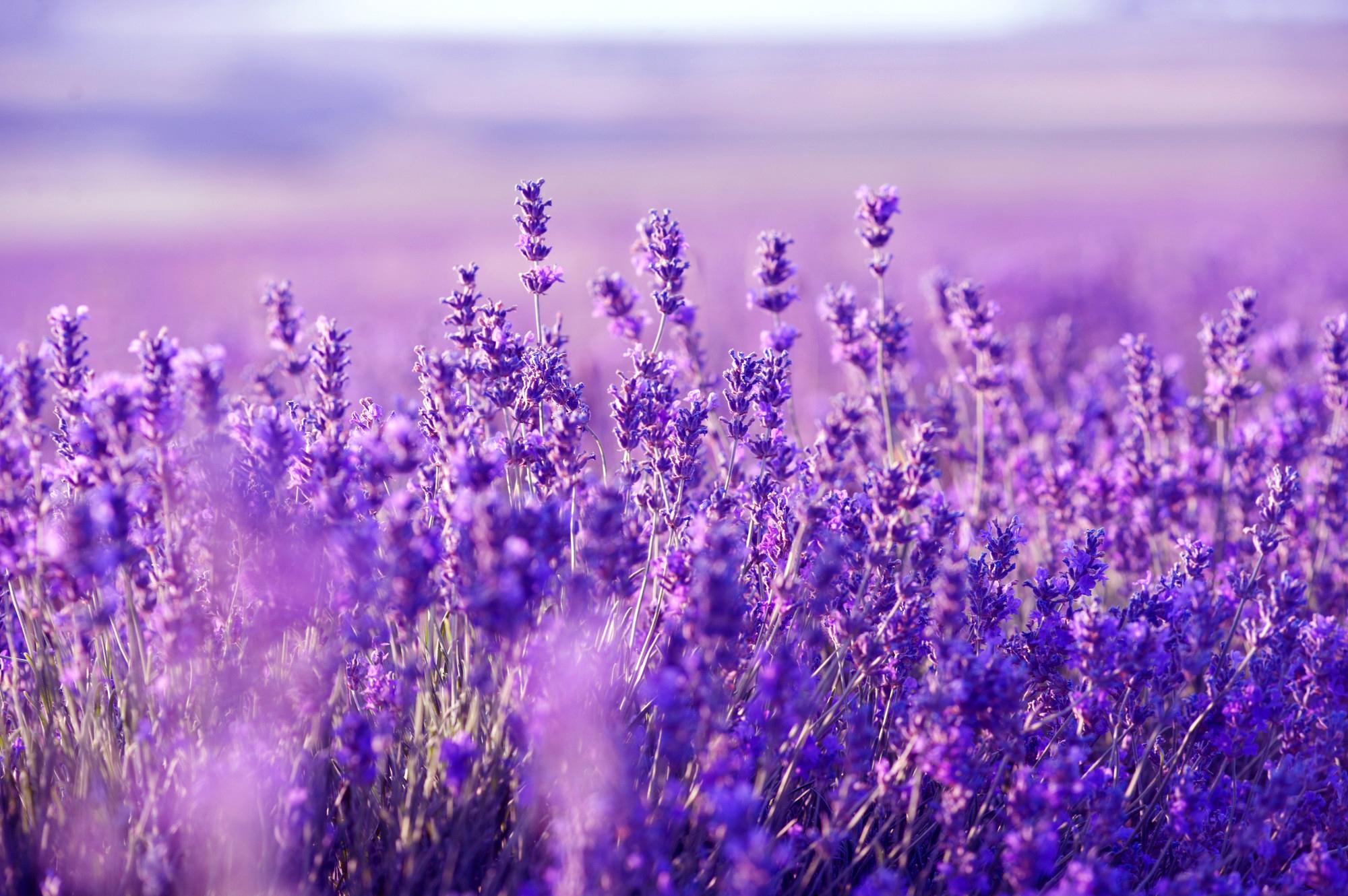 lavender background wallpaper - HD2000×1330
