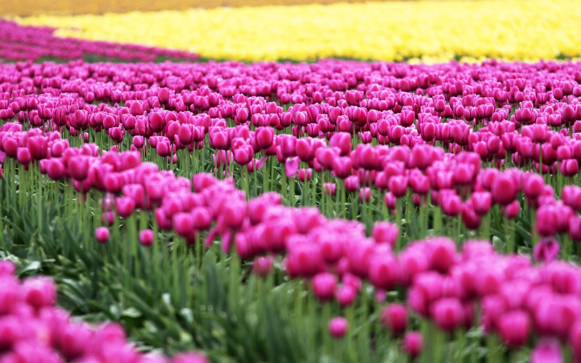 Тюльпаны розовые поле скачать