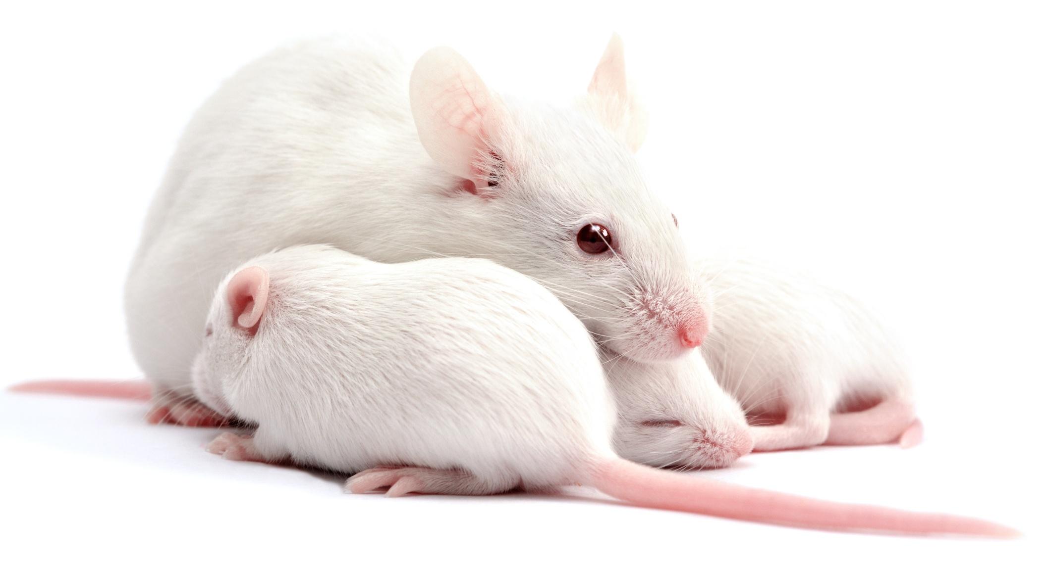 Картинки крыса Детеныши Животные белым фоном Крупным планом Крысы вблизи животное Белый фон белом фоне