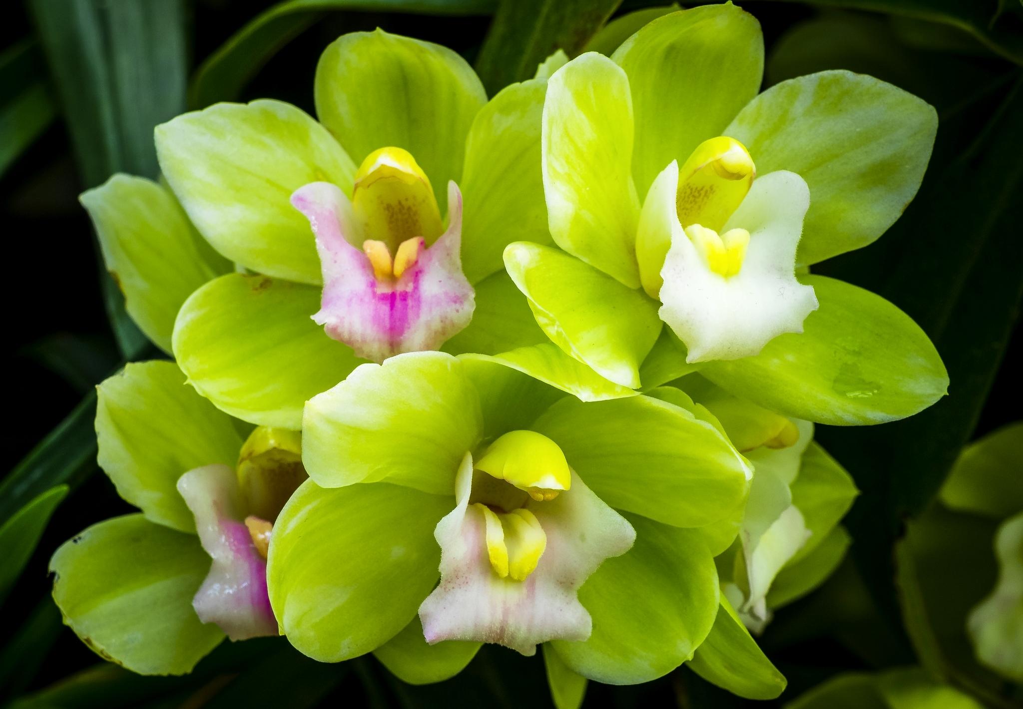 Обои для рабочего стола орхидеи цветы