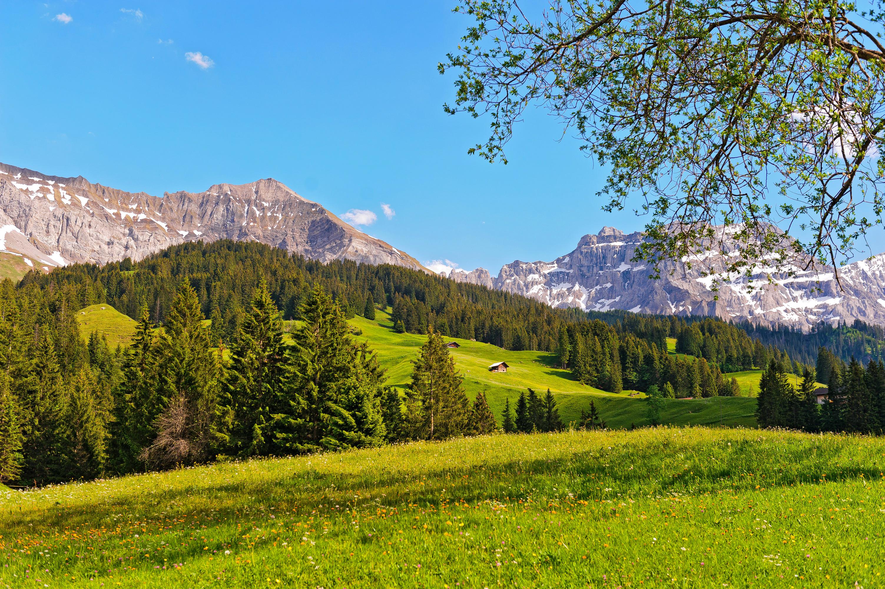 горы, ели, цветочная поляна без смс