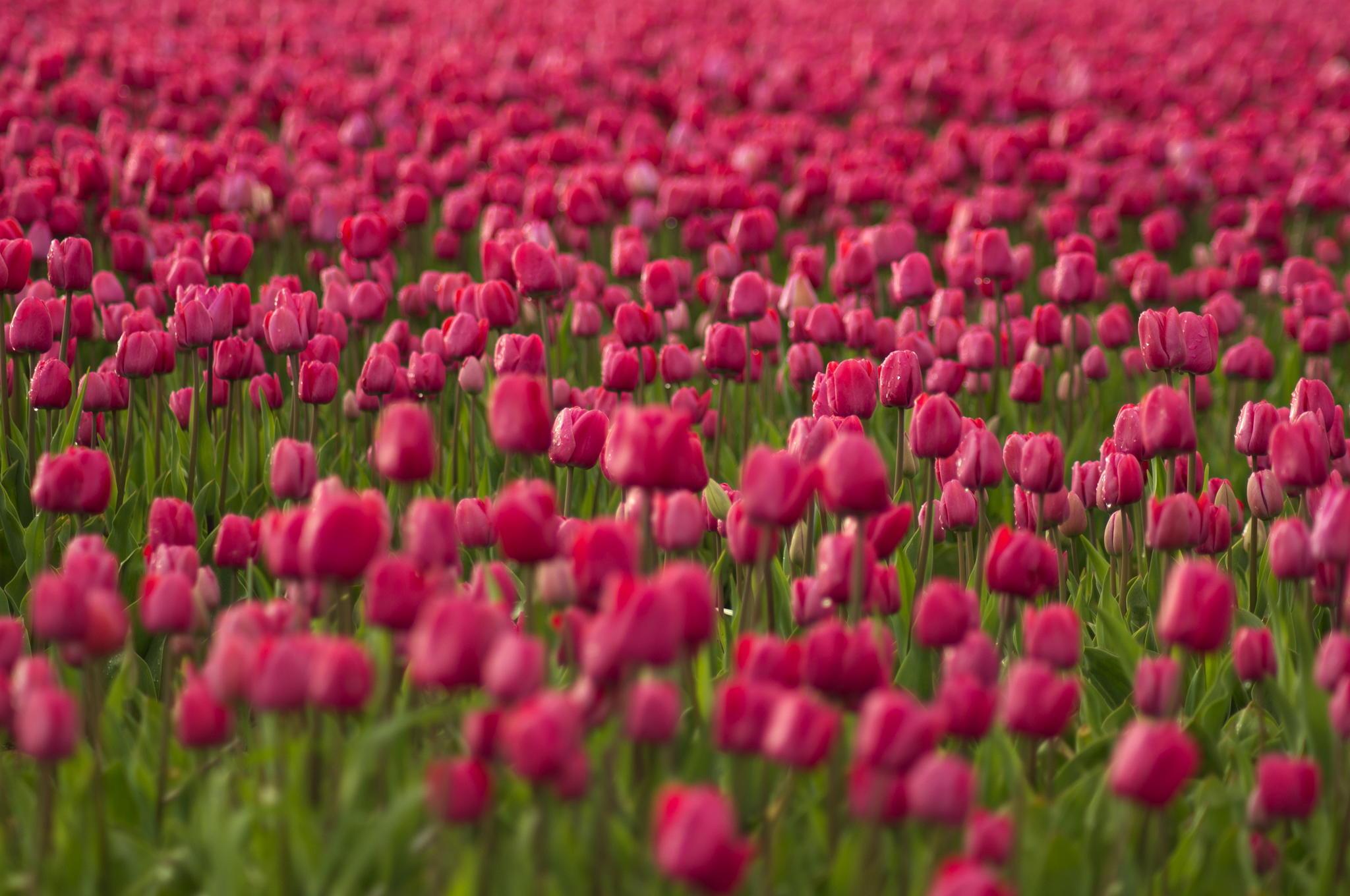 Тюльпаны розовые поле загрузить
