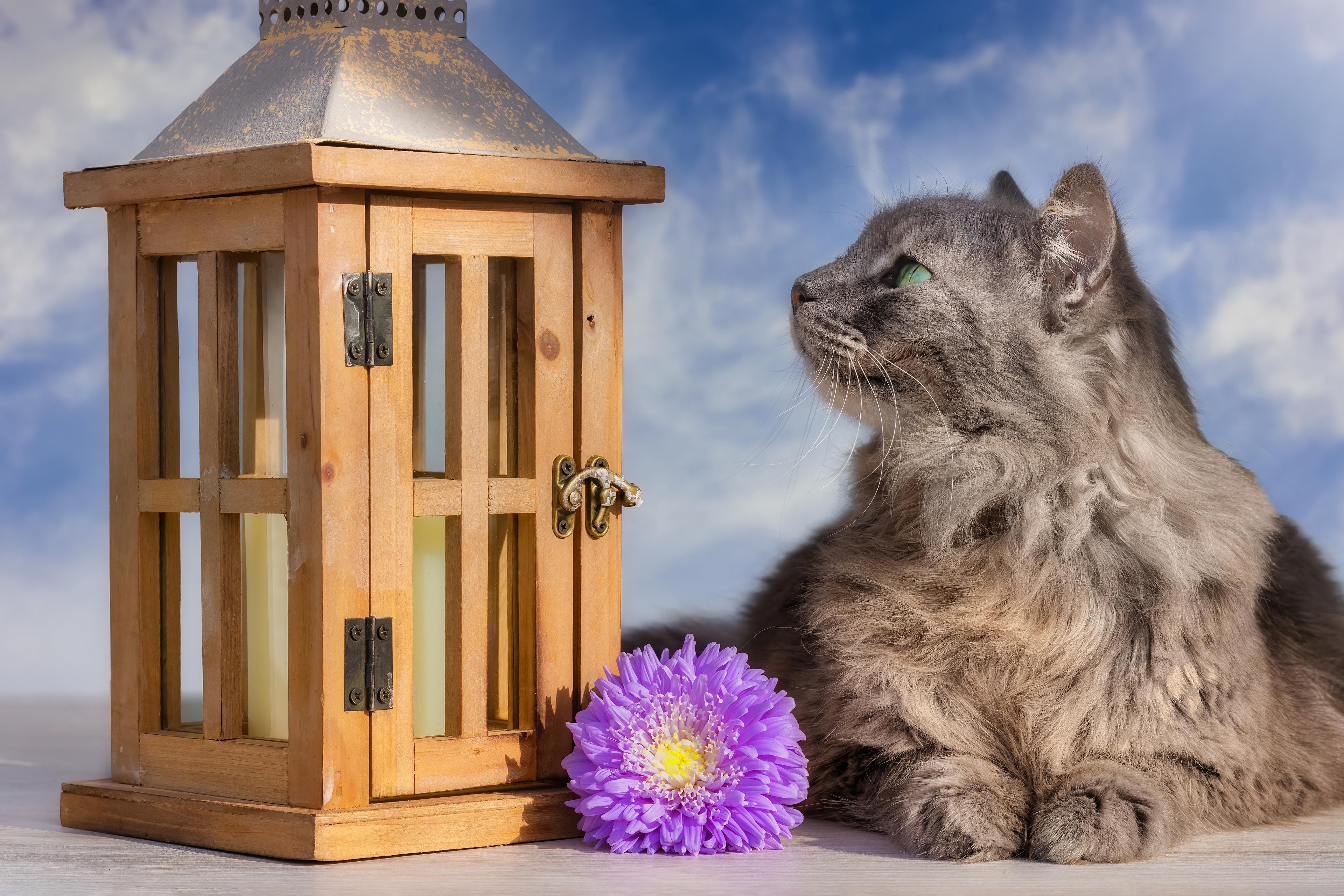 Картинка кот Астры Цветы Животные коты кошка Кошки цветок животное