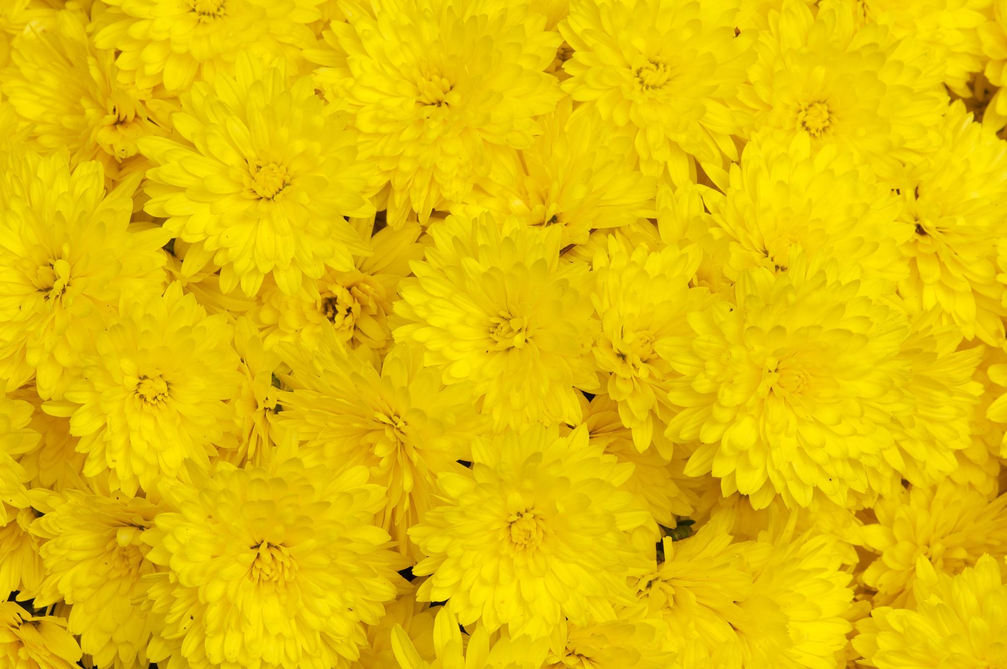 цветы желтые загрузить