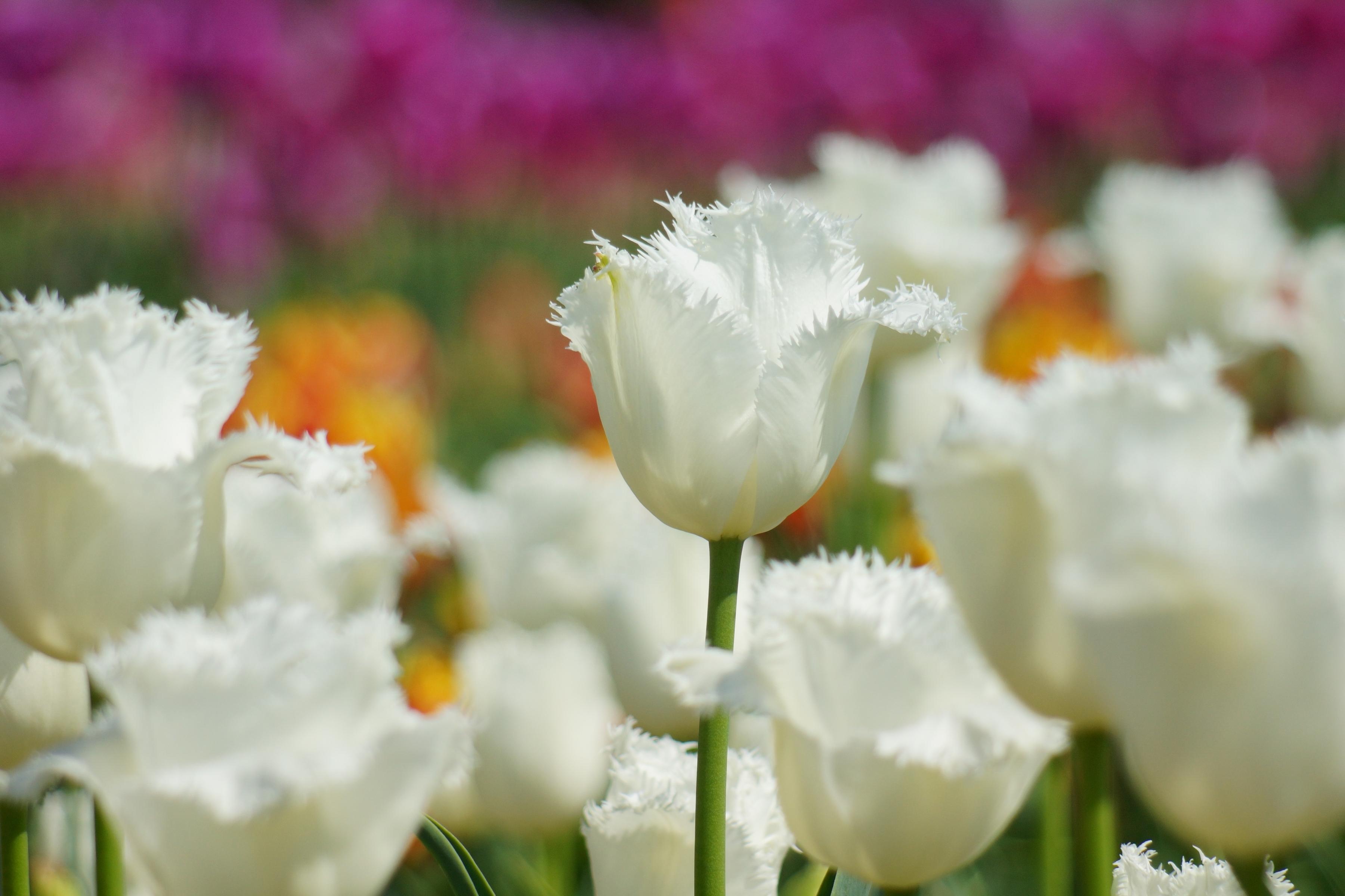 тюльпаны цветы фокус скачать